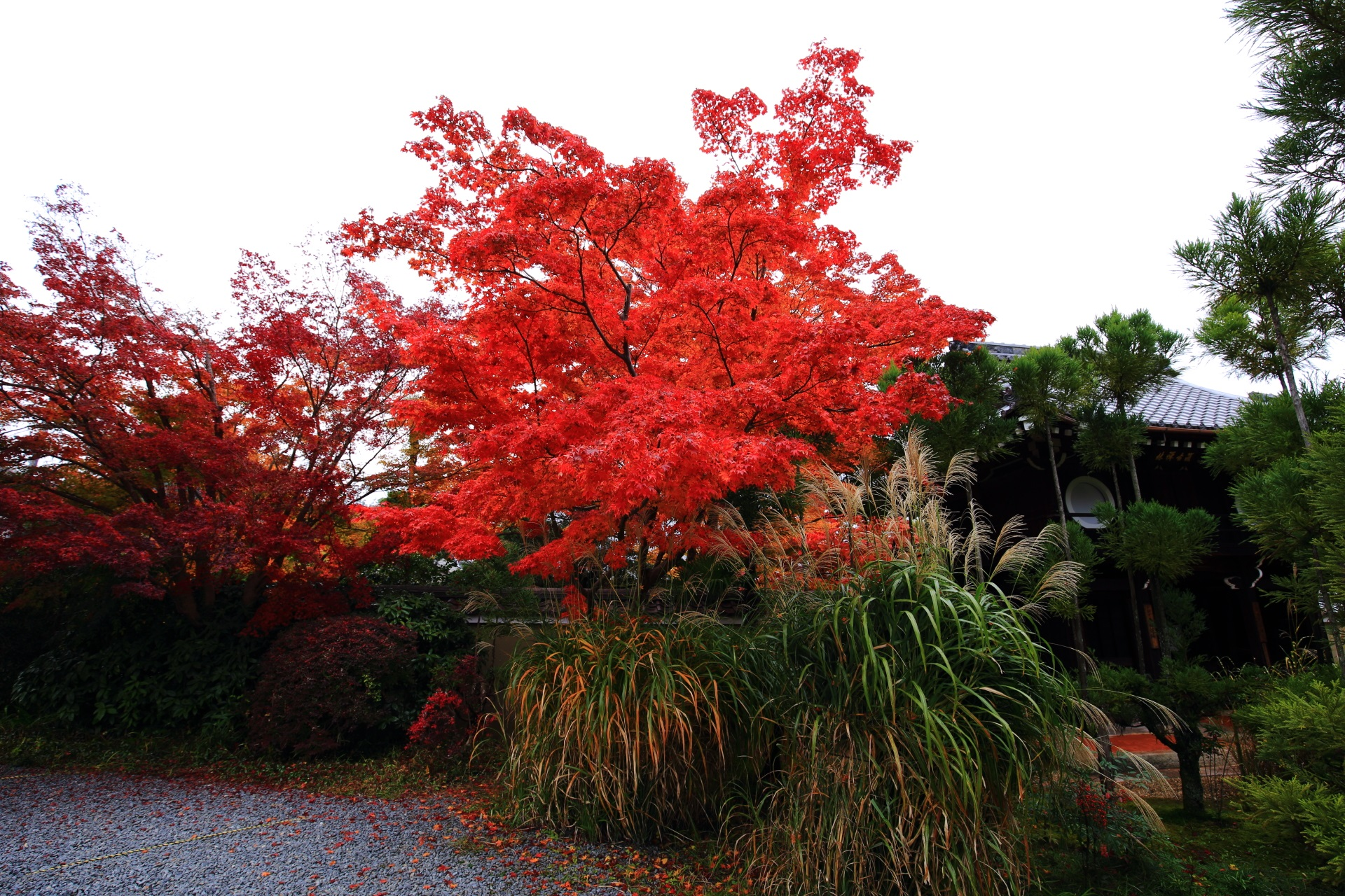 鮮やかに真っ赤に色づいた山門の紅葉とススキ
