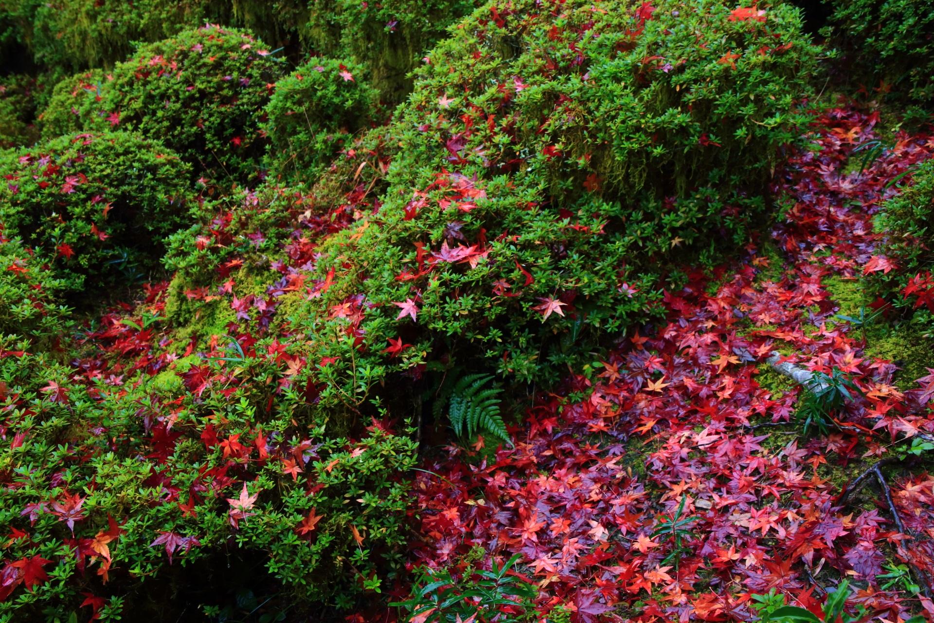 緑のサツキの刈り込みに散る赤いもみじ