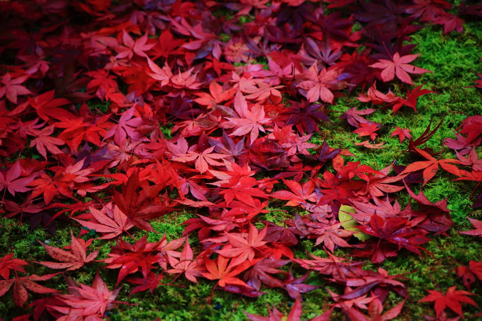 光悦寺の素晴らしすぎる紅葉や散りもみじと秋色の情景