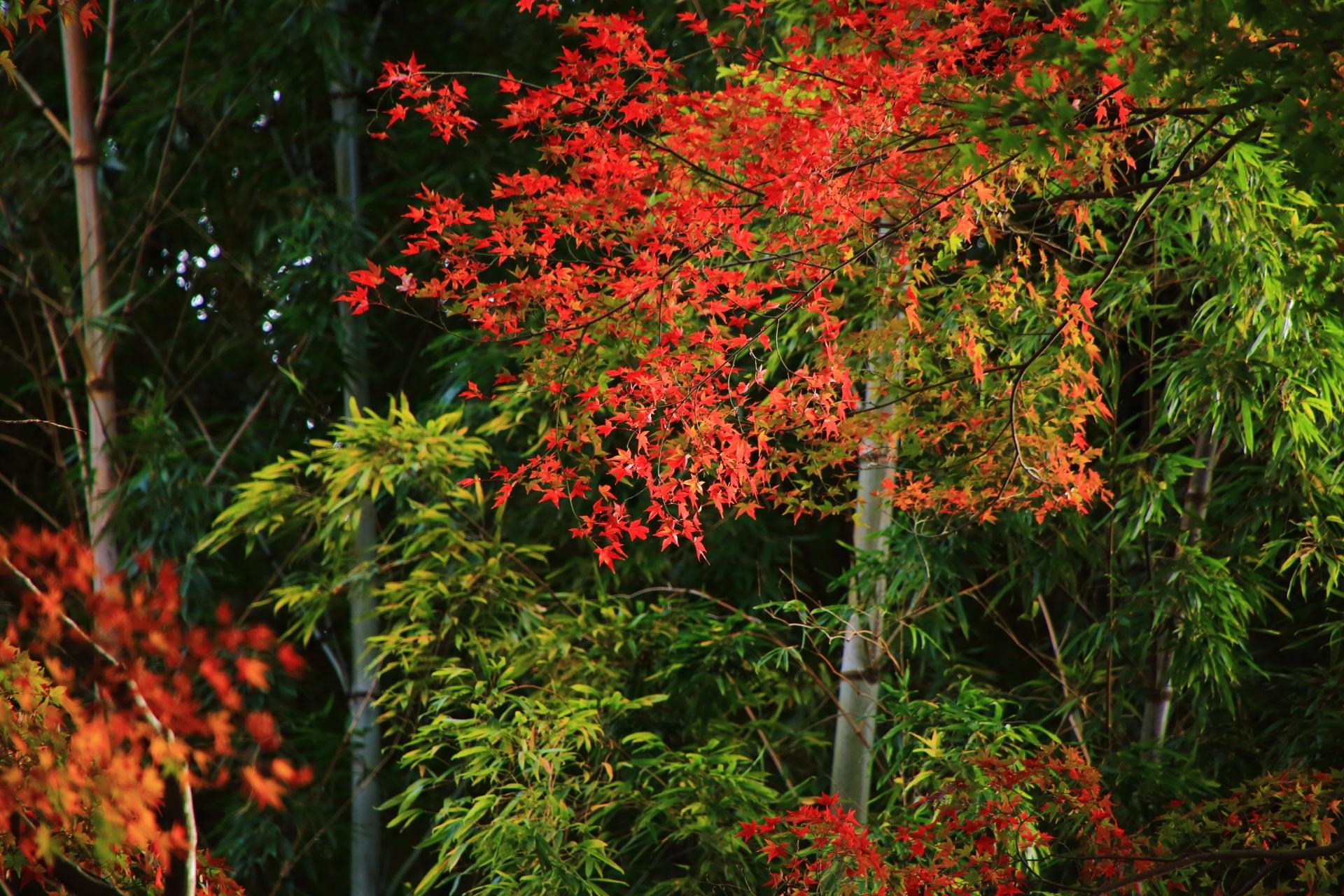 地蔵院の緑の竹と赤い紅葉のコラボ