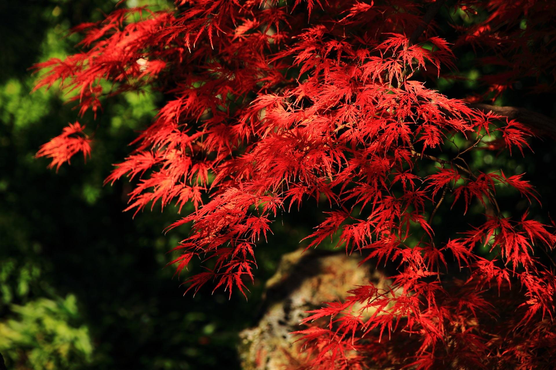 光の当たり具合によっては鮮烈な赤さになる紅葉