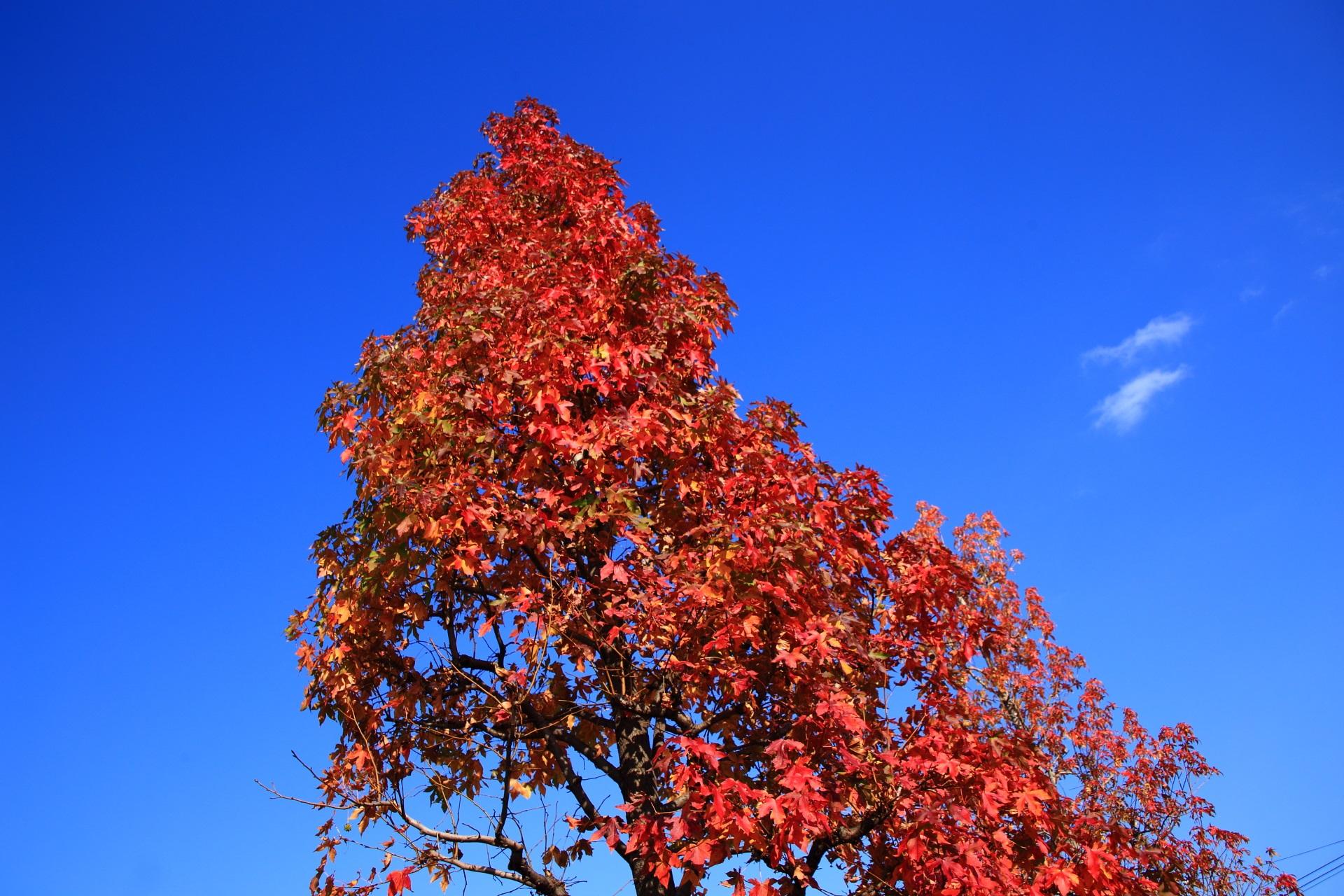 太陽を浴びて煌びやかに青空を彩る街路樹の紅葉