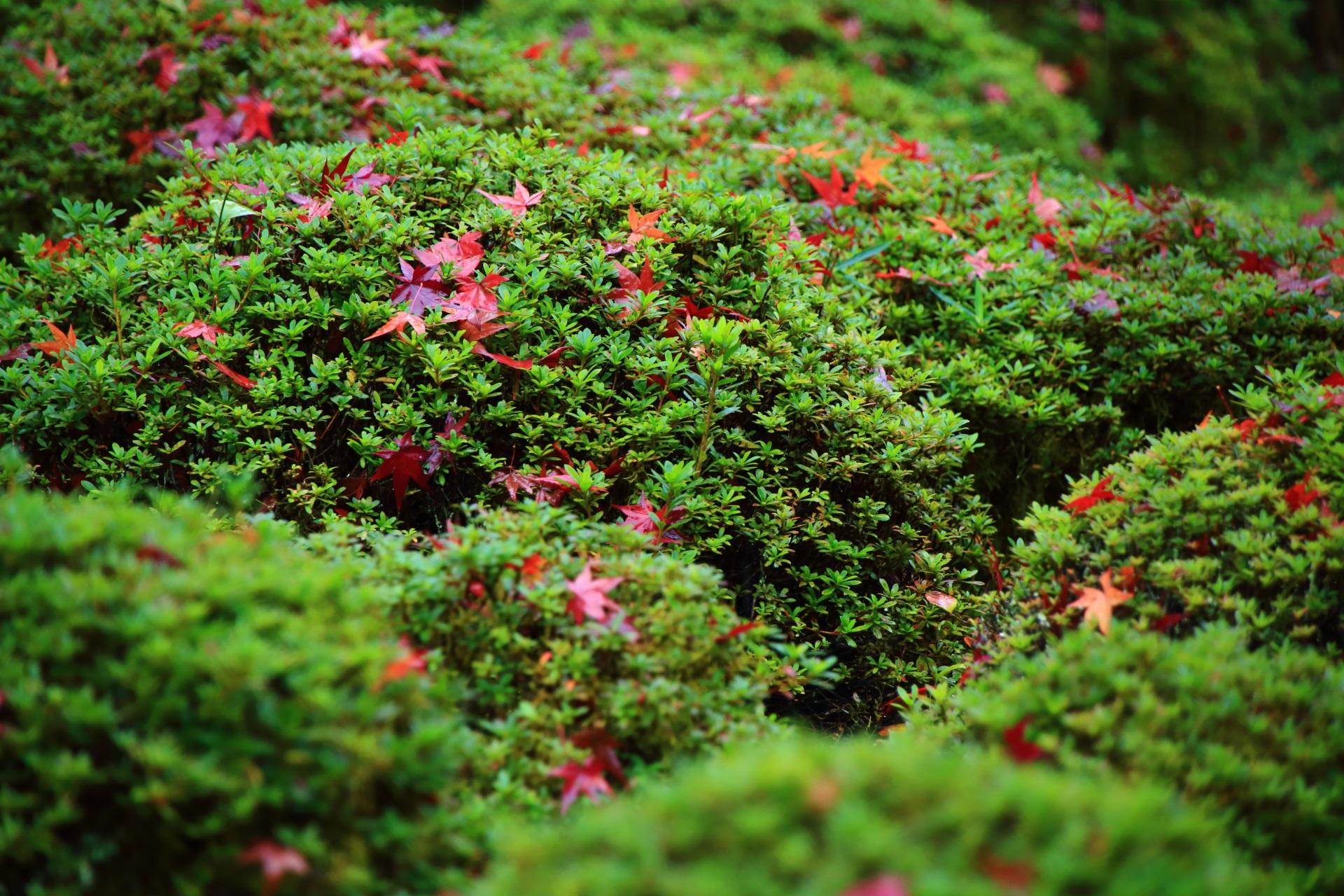 サツキを上品に華やぐ散り紅葉