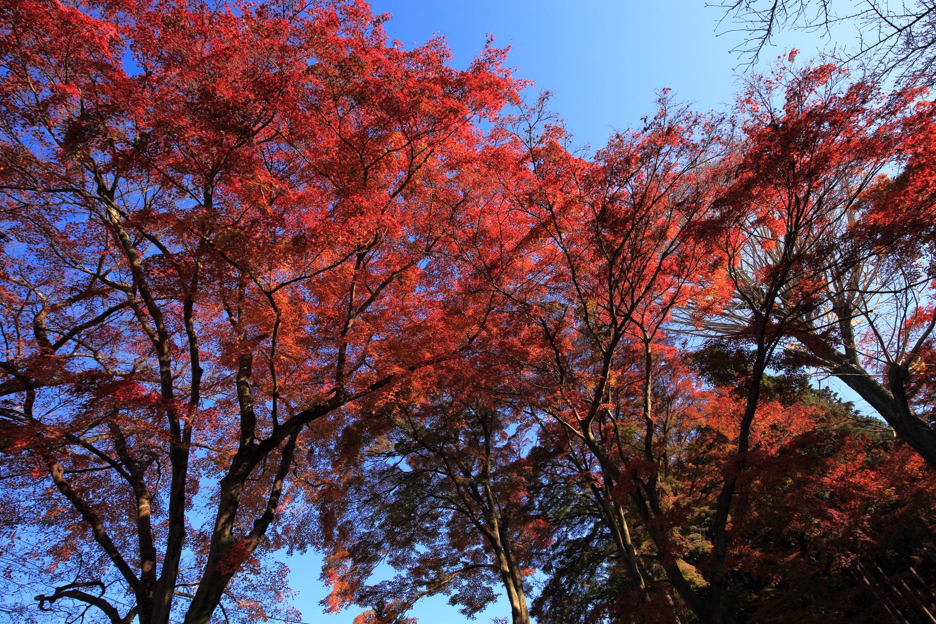 青空で煌く絶品の紅葉