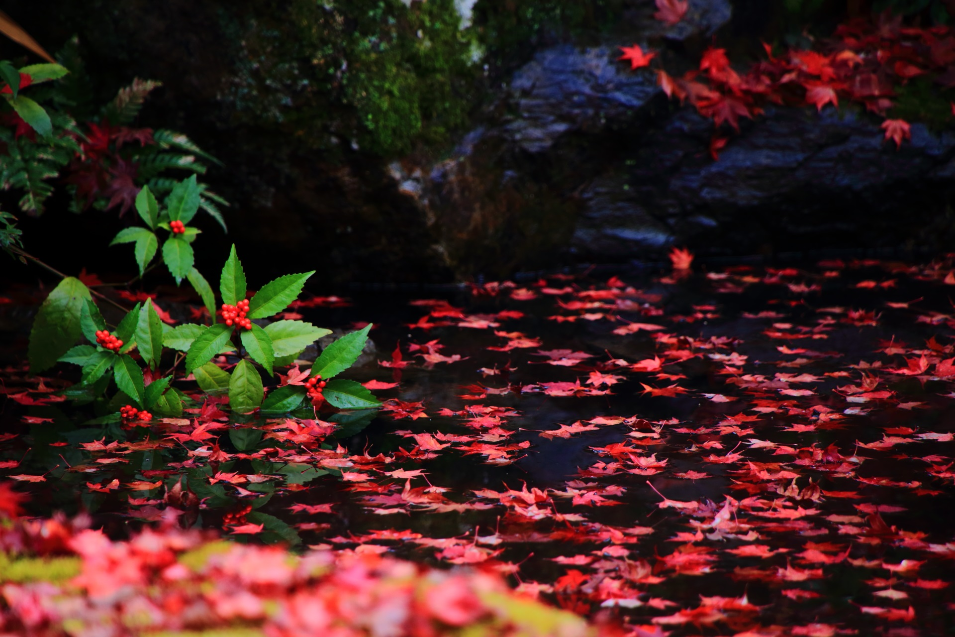 絵になる千両か万両の赤い実と赤い散り紅葉