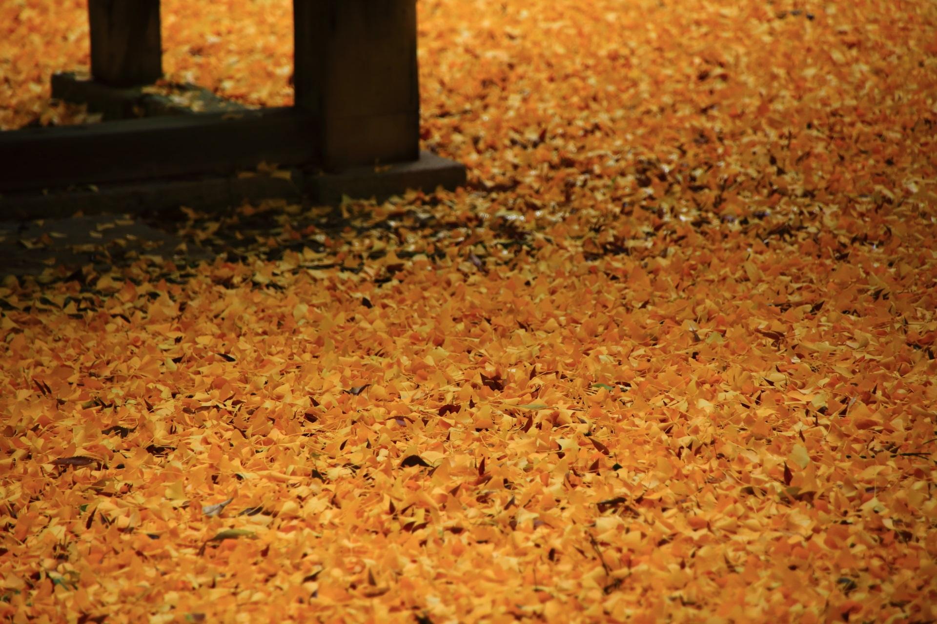 鮮やかな彩りの黄色い銀杏の絨毯