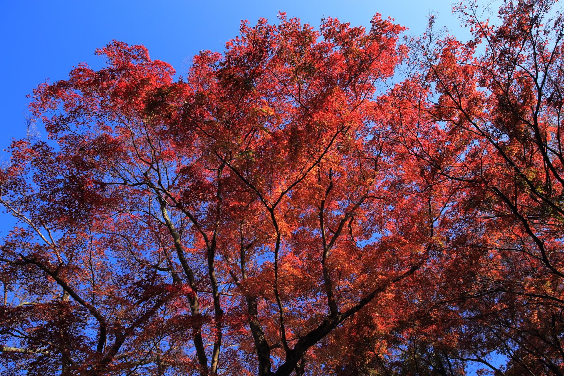 空を煌びやかな秋色に彩る豪快な紅葉