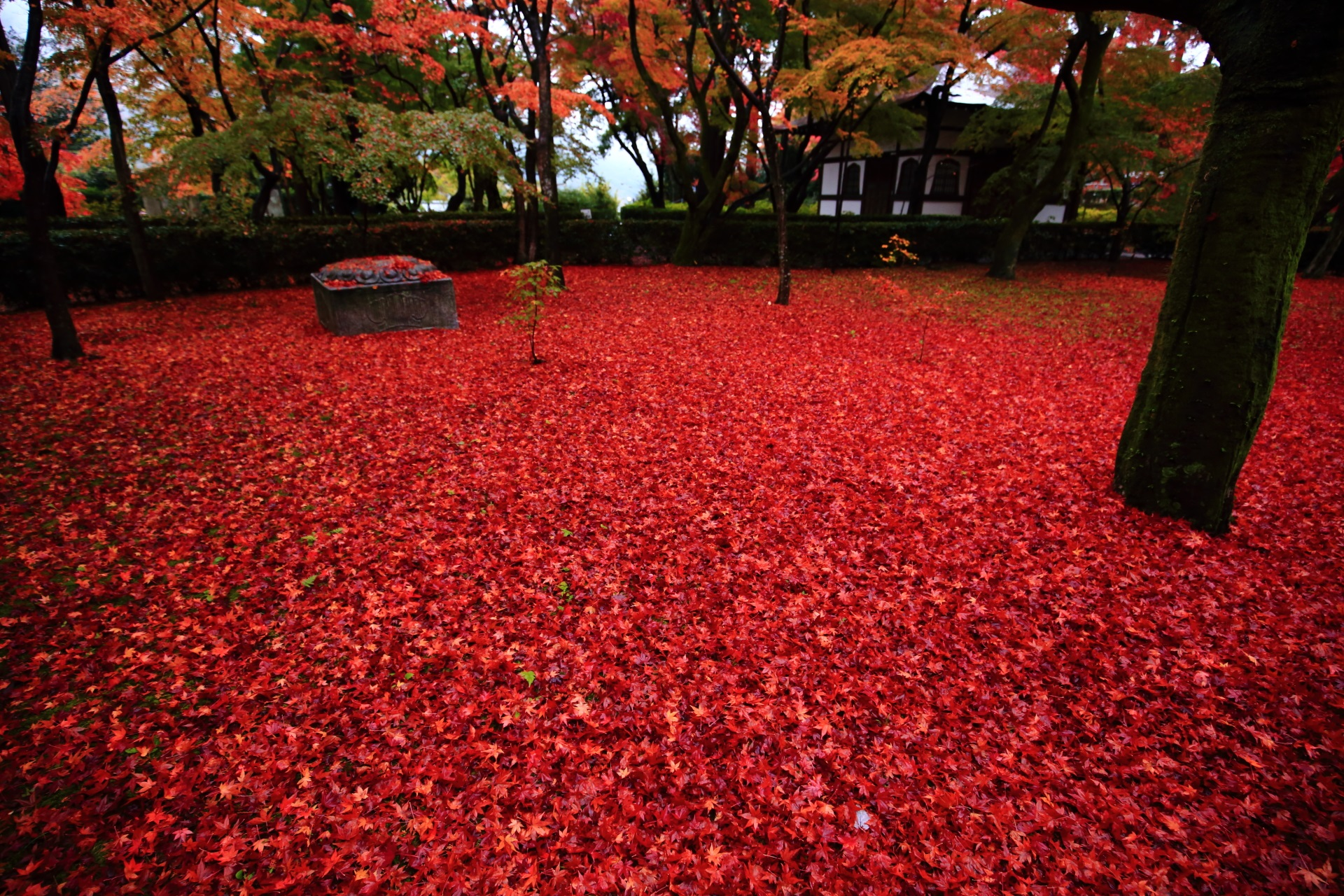 本堂裏の凄すぎる紅葉の赤い絨毯