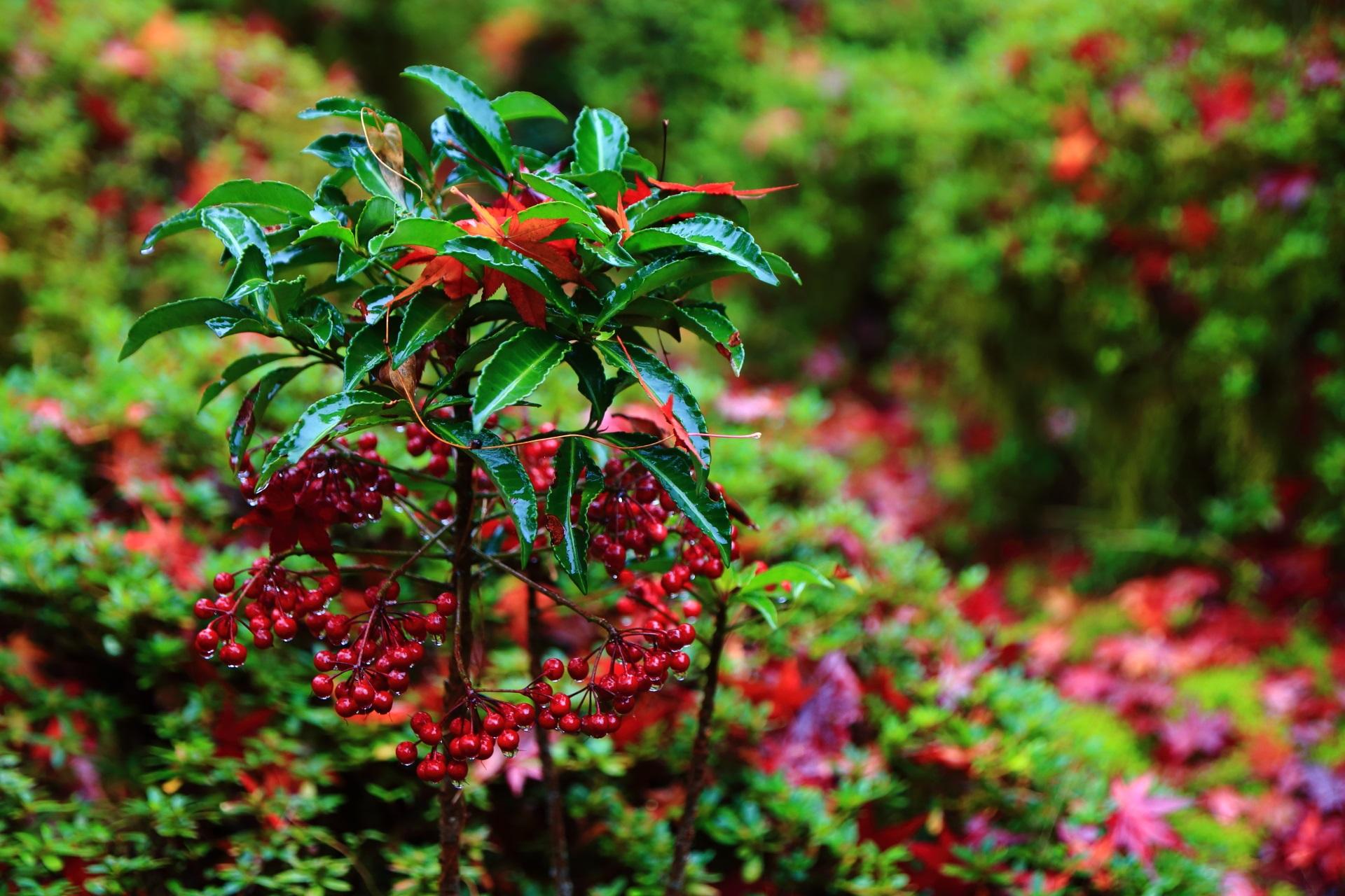 赤い実をつける万両に散る紅葉