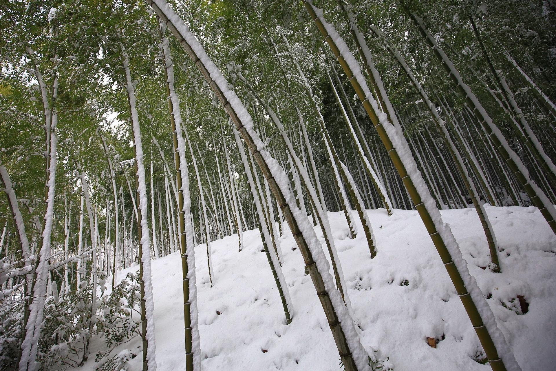 竹にも綺麗に雪が積もる天龍寺