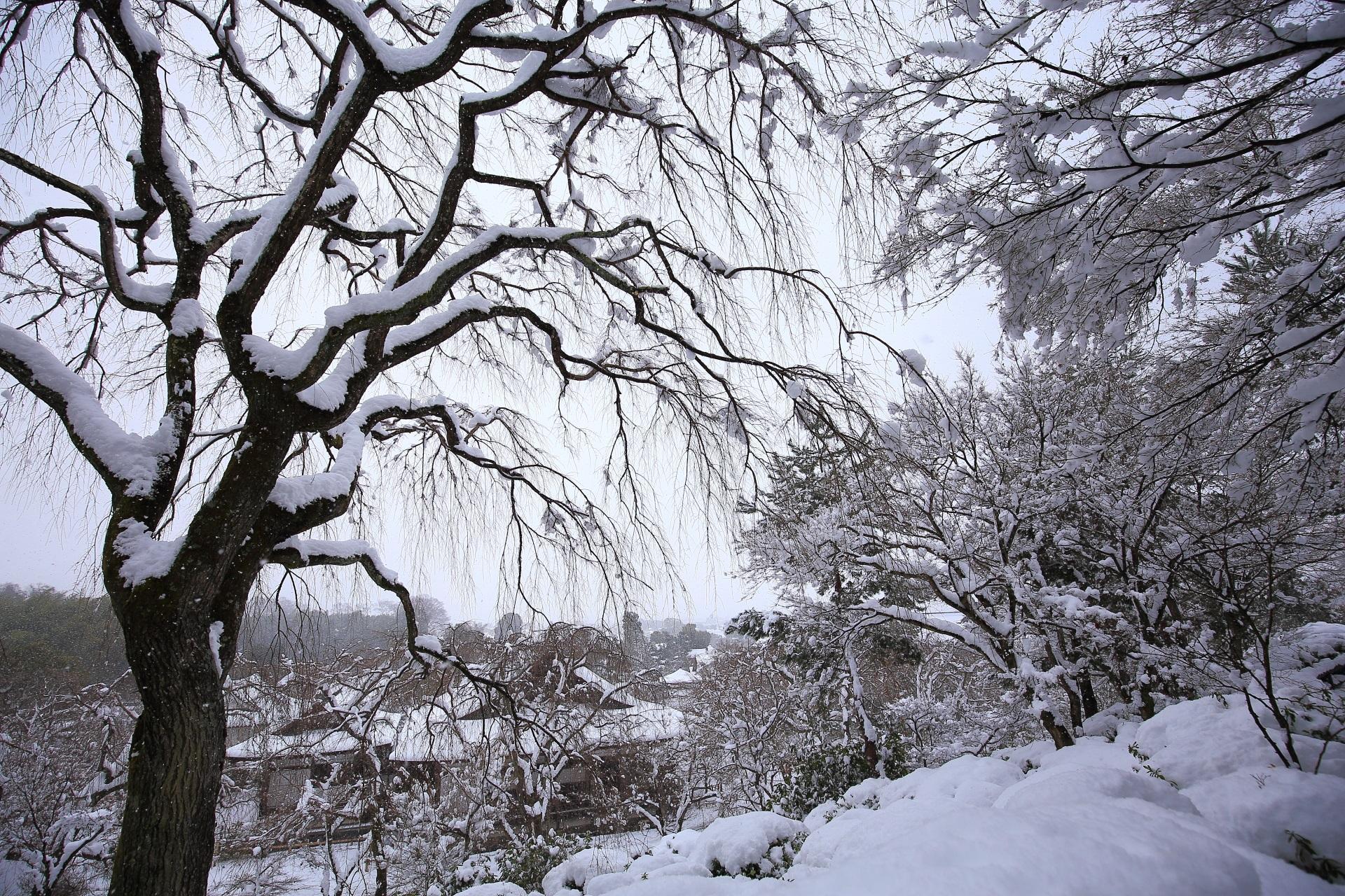 雪の花が咲く天龍寺のしだれ桜