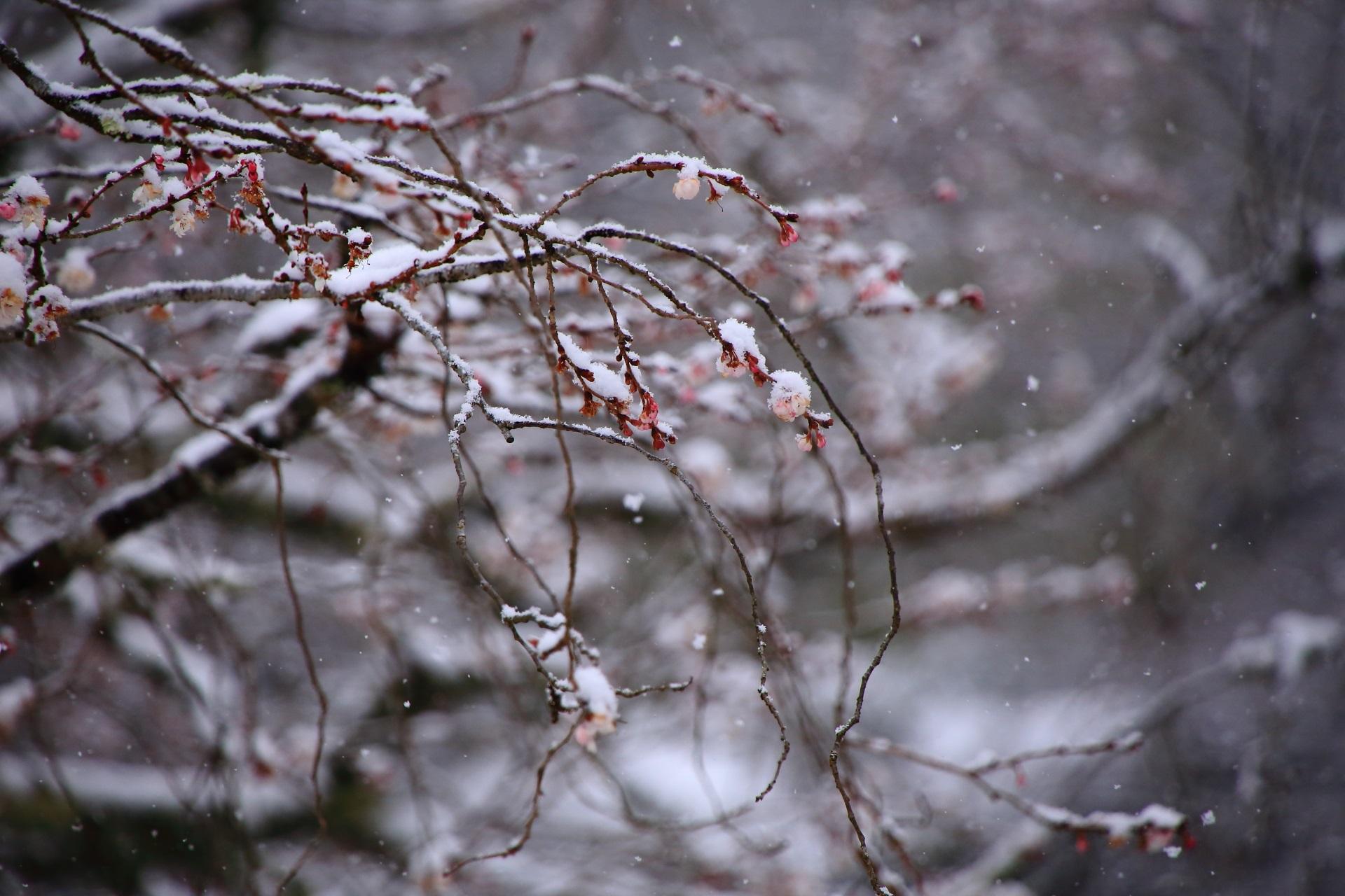 冬の大原実光院の不断桜と雪景色