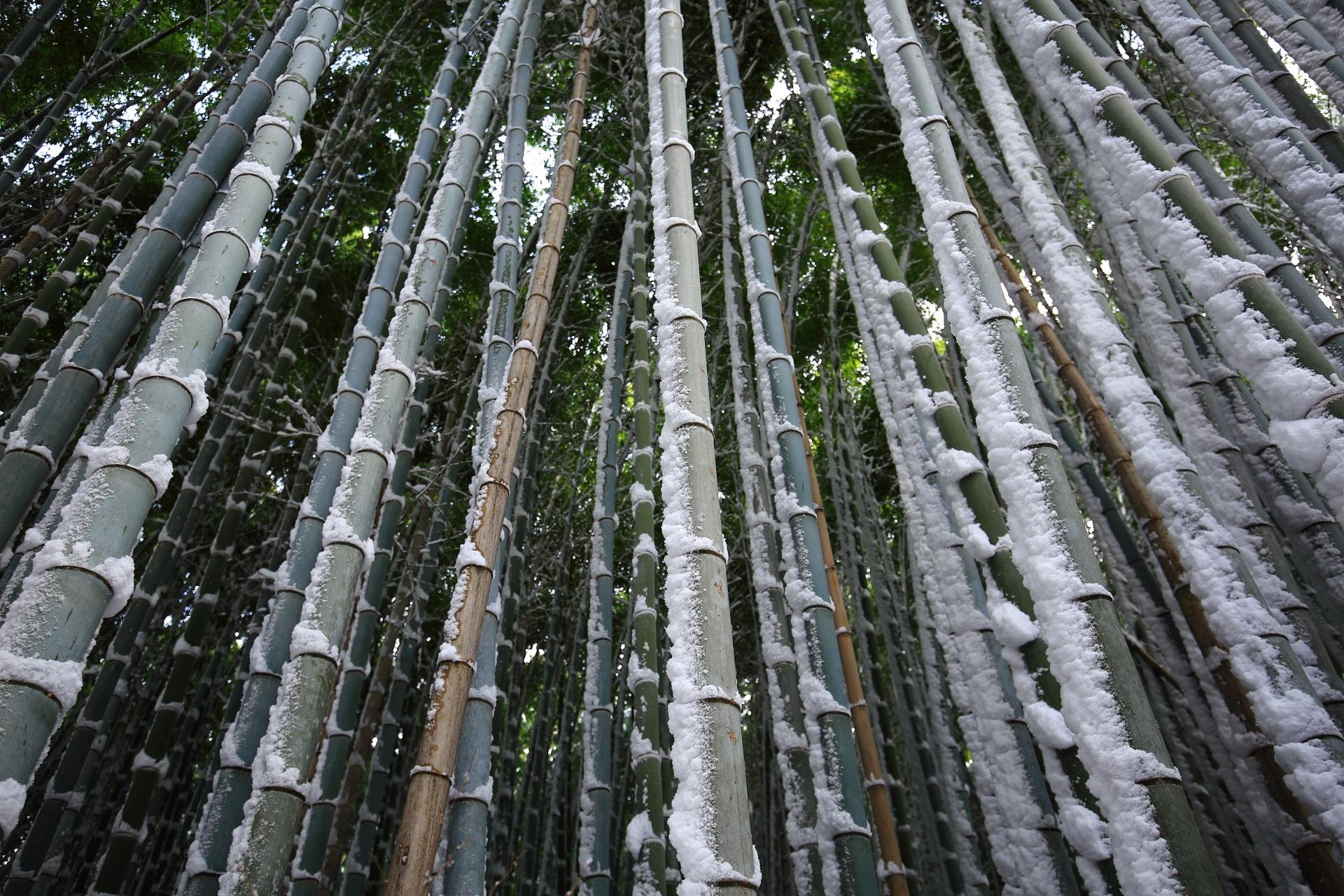 いろんな色がある嵯峨野の竹