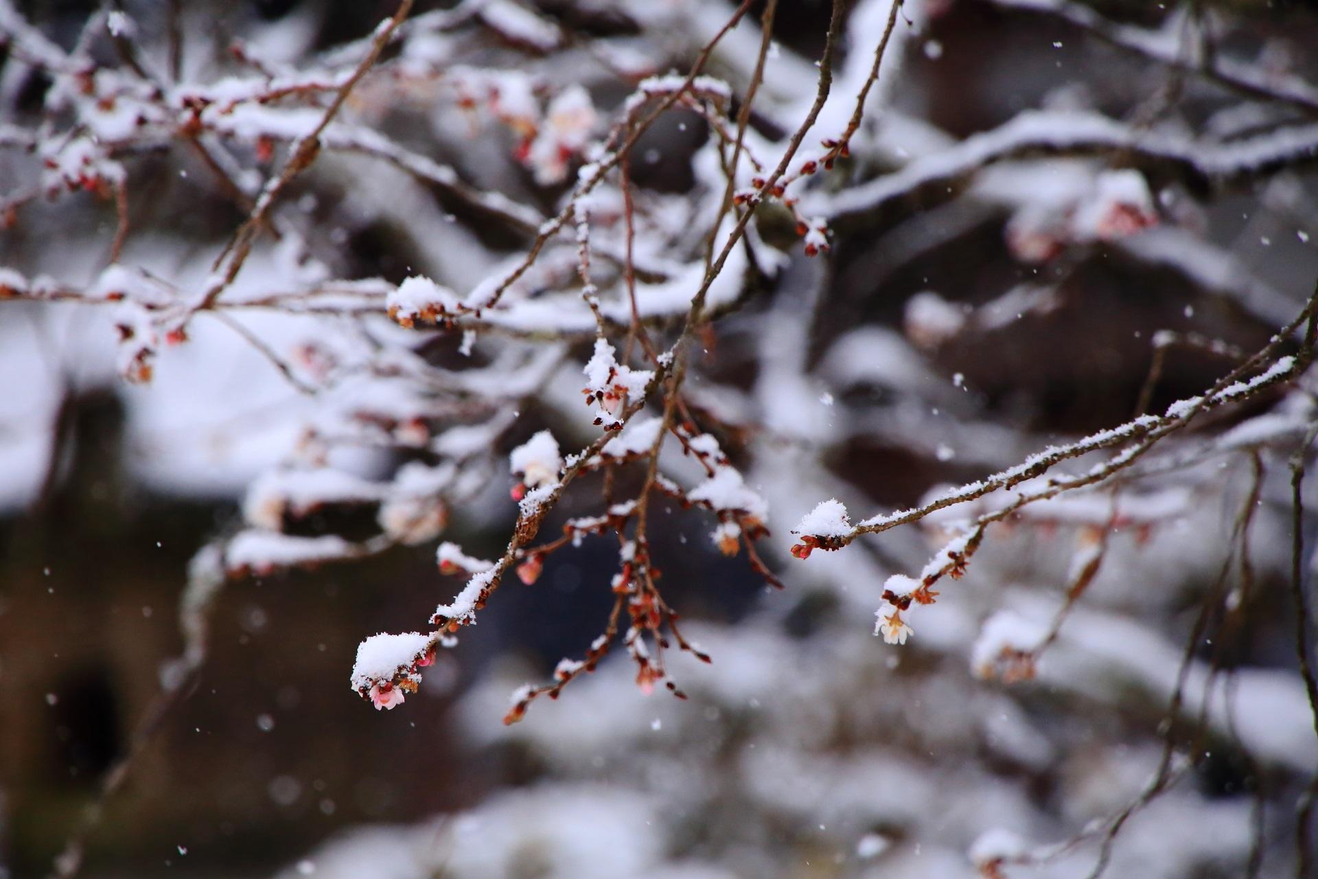 雪の積もった不断桜の蕾