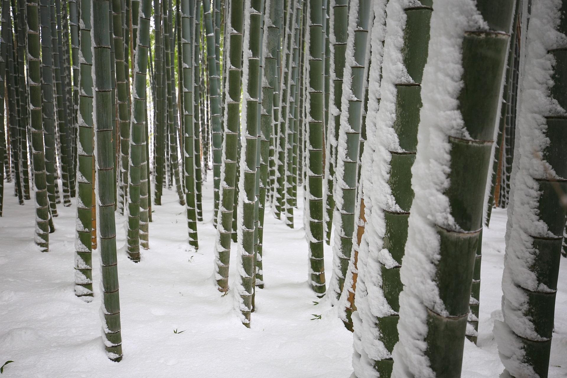 竹の緑と雪の白の綺麗なコントラスト