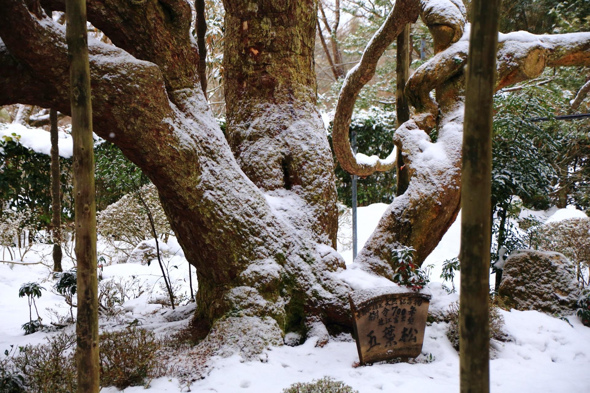 雪の積もった冬の五葉松