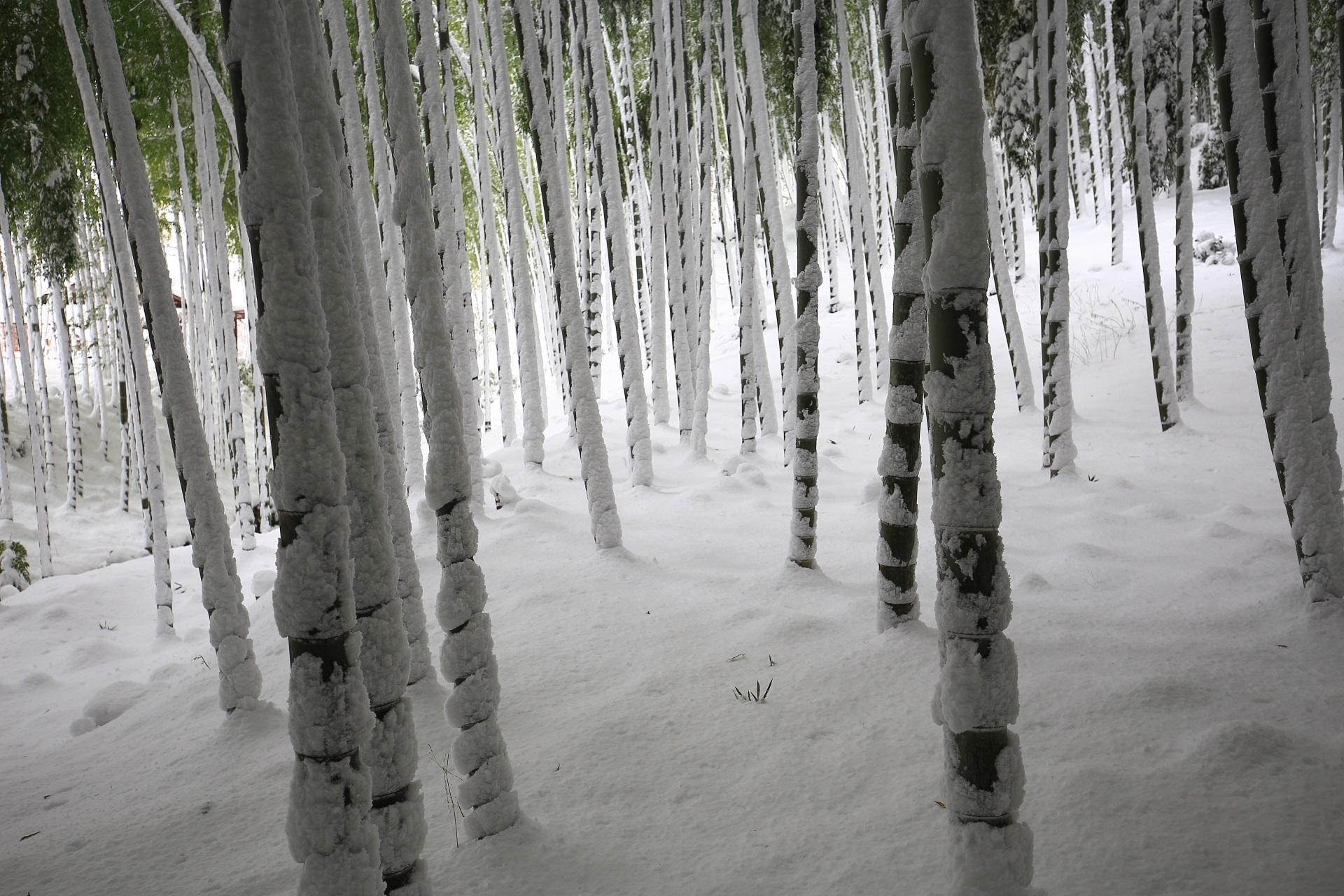 雪で真っ白になった竹林の竹