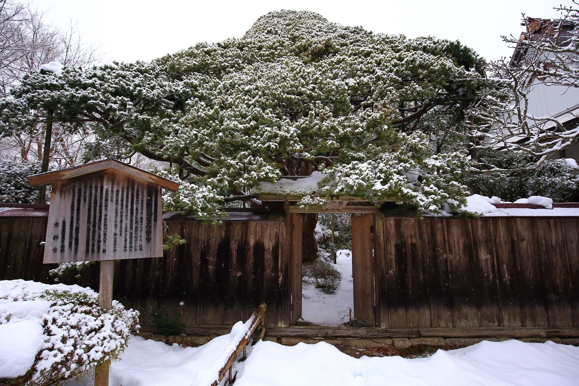 雪につつまれた樹齢700年といわれる五葉松
