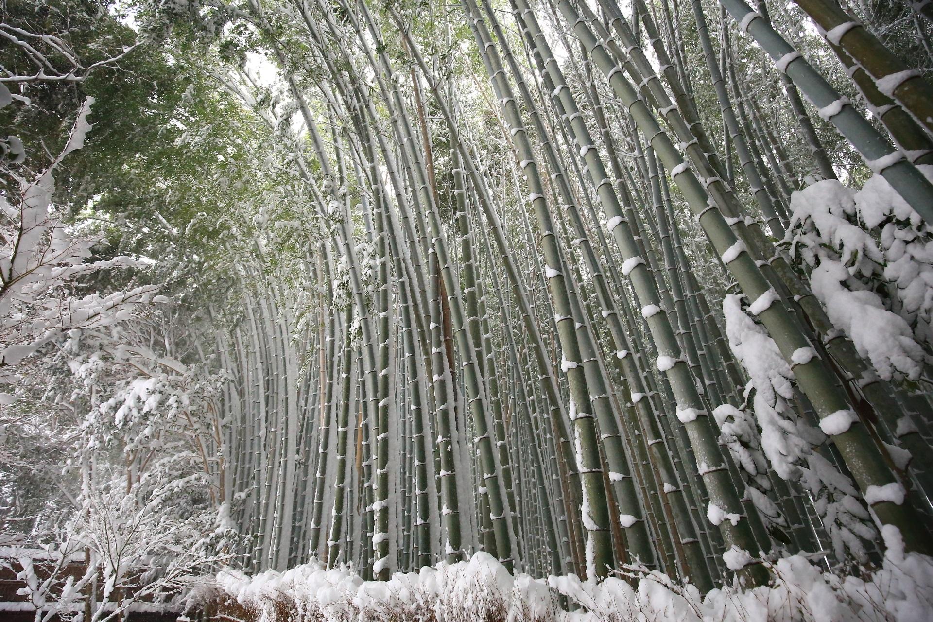雪の重みで竹がしなる祇王寺