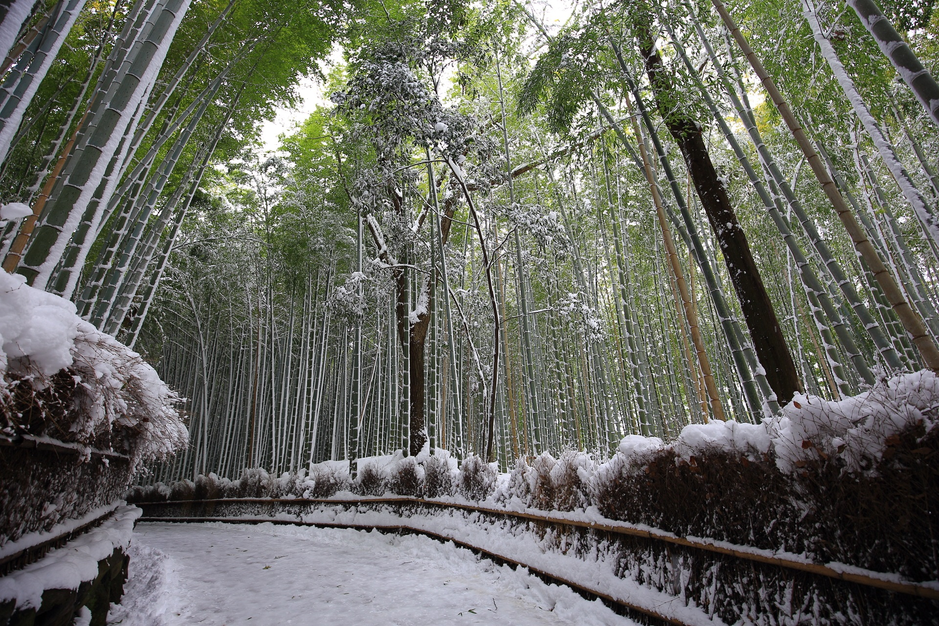 bamboo forest snowy landscape in Kyoto,Japan