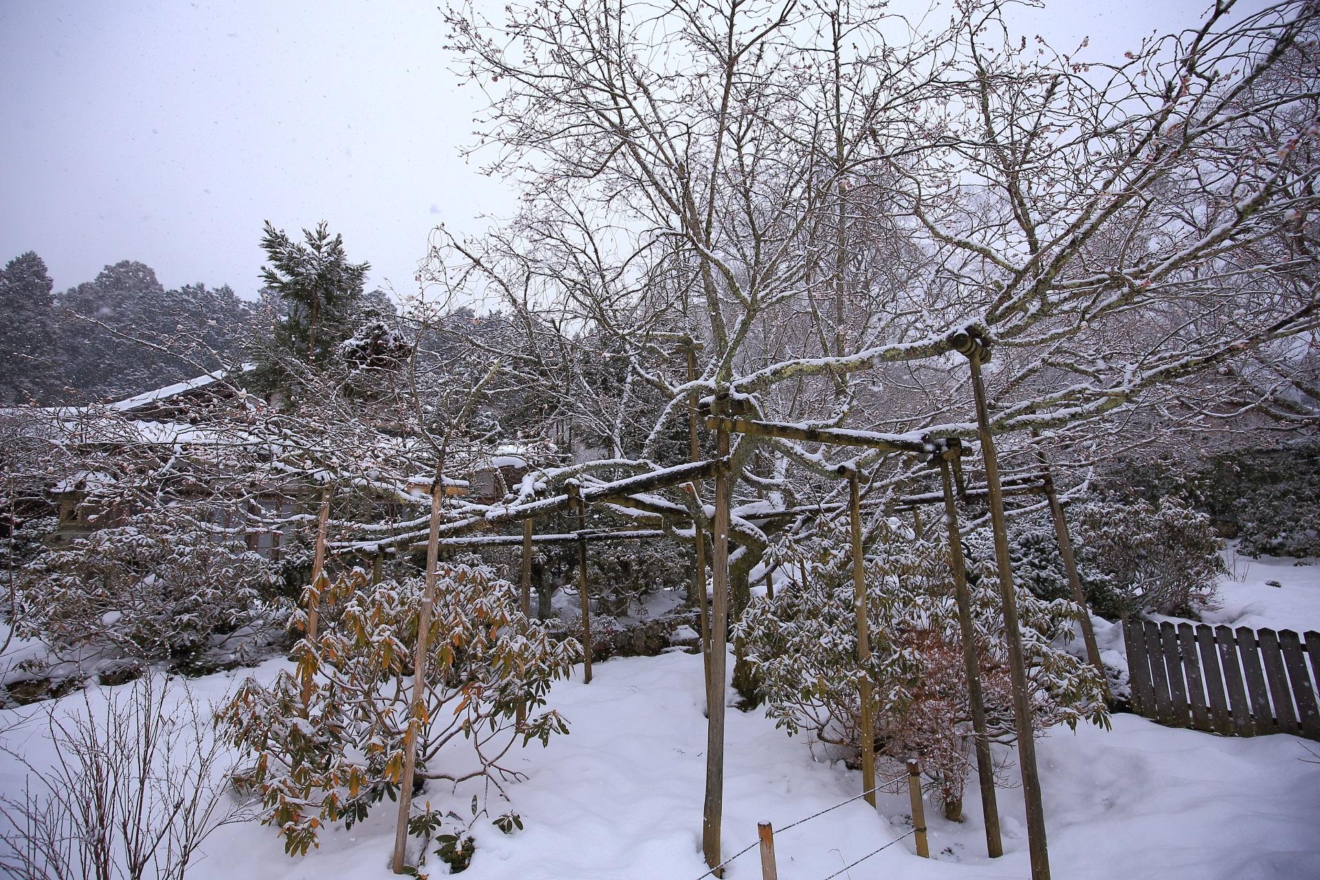 真冬は咲いていない不断桜の雪