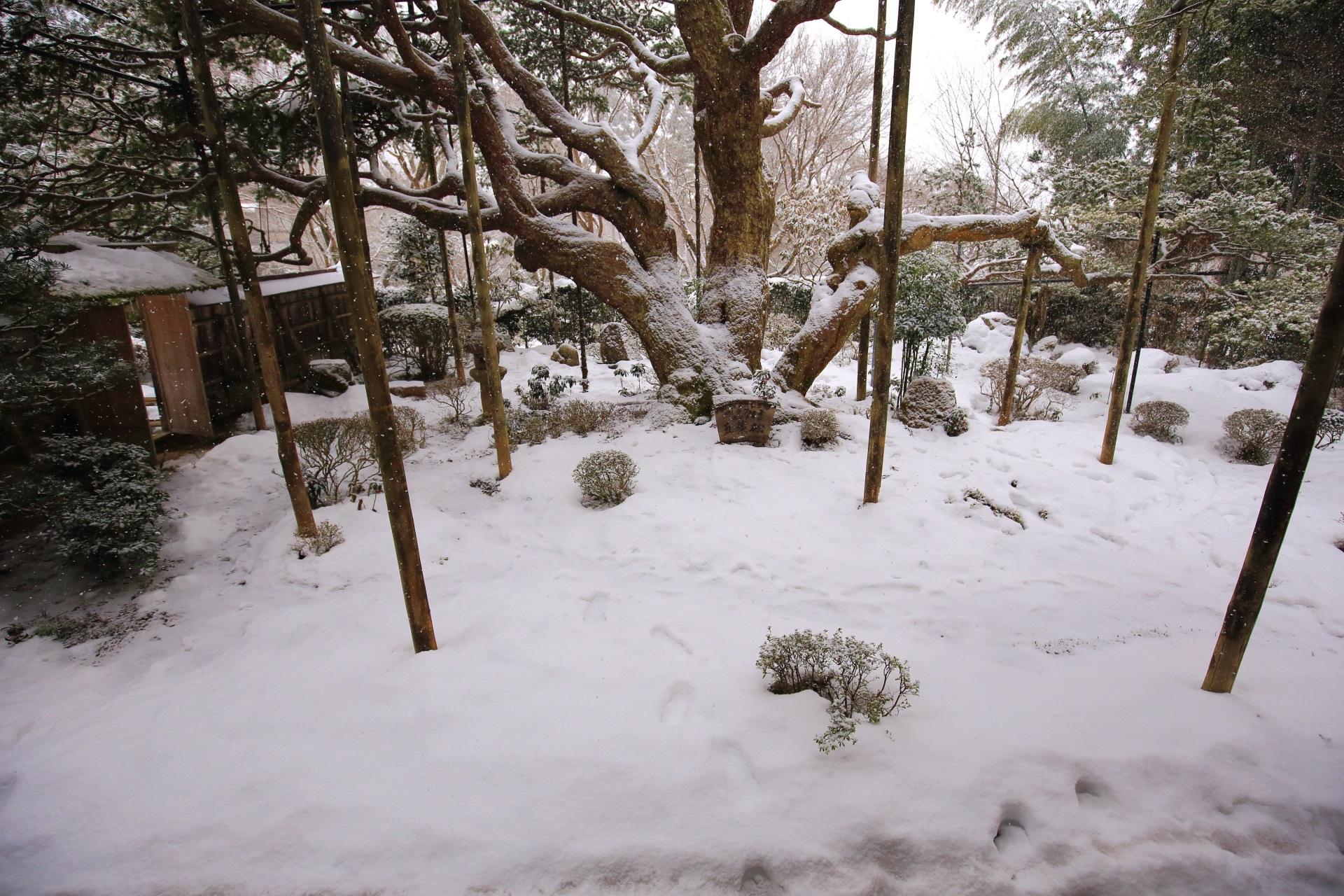 雪がだいぶ積もった額縁庭園と五葉松