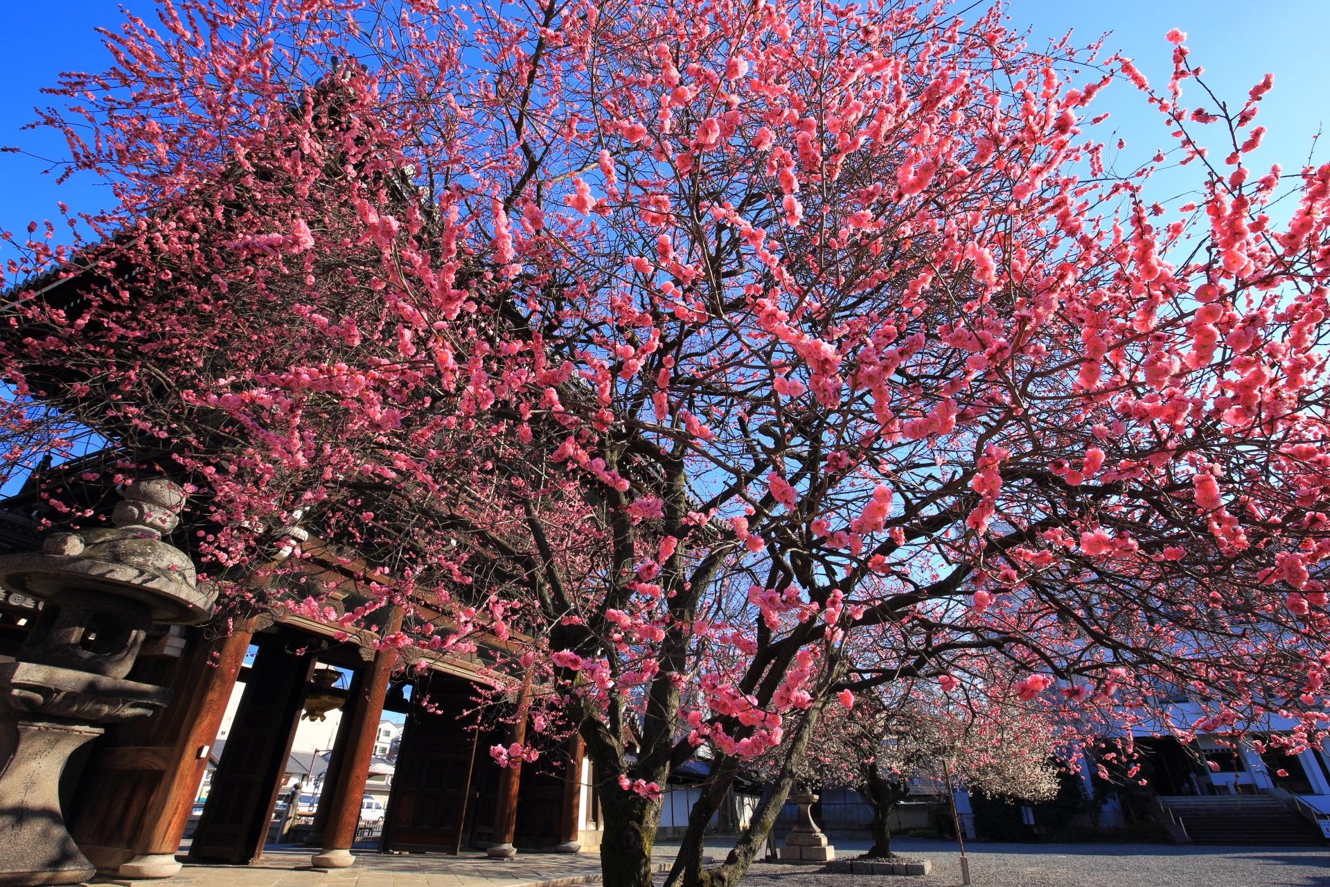 興正寺 梅 京都の春を告げる紅白の梅