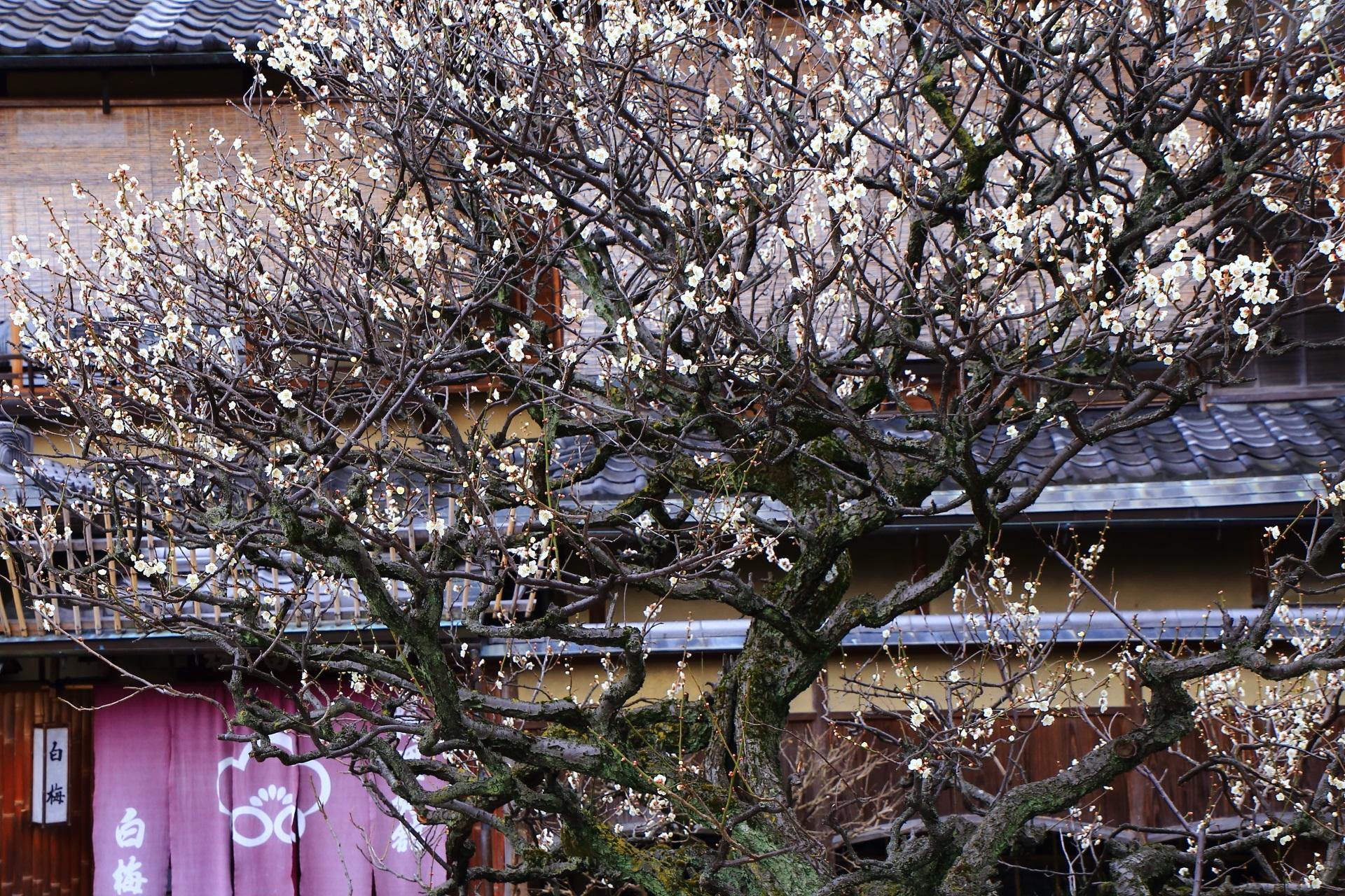 料理旅館の白梅(しらうめ)さんの建物と暖簾が引き立てる梅