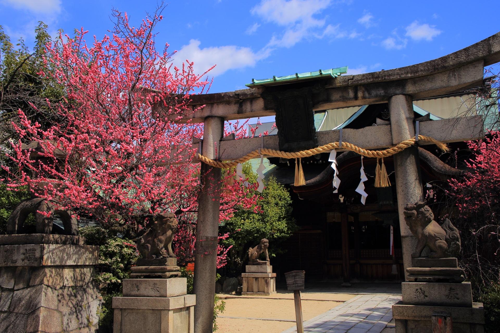 菅大臣神社の鳥居の紅梅と本殿の紅梅