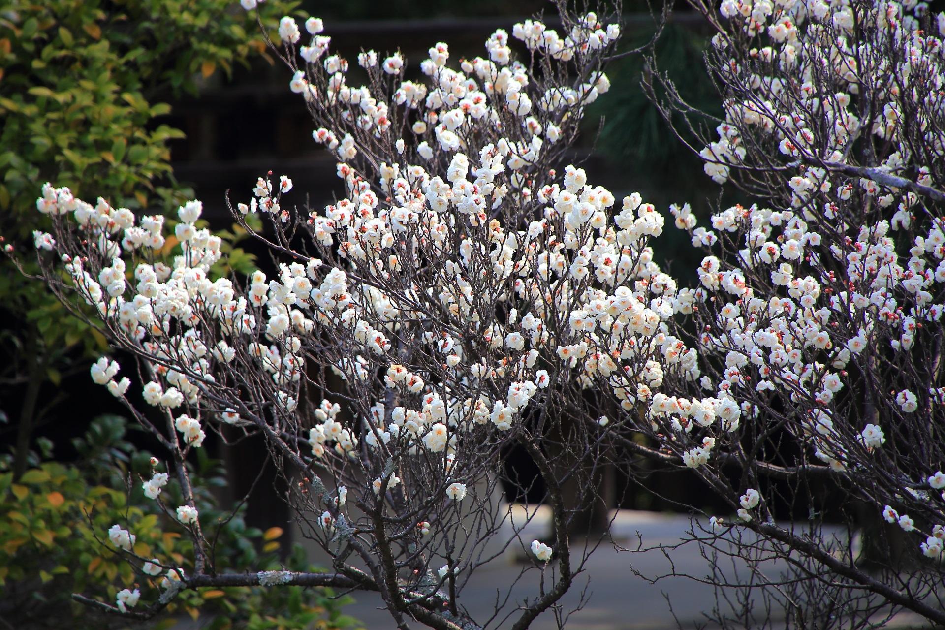 萼片(がくへん)(花の根元)の赤色が良いアクセントになる白梅