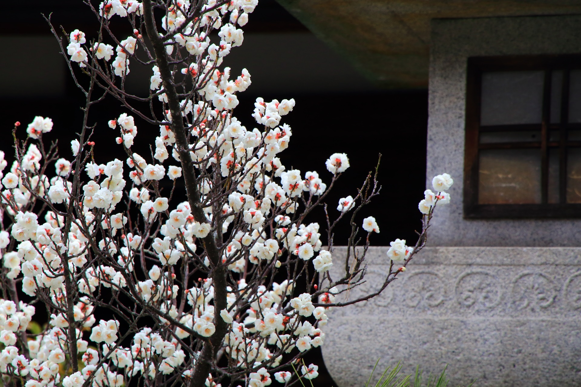 plumblossom Seiryo-ji Temple in kyoto,Japan