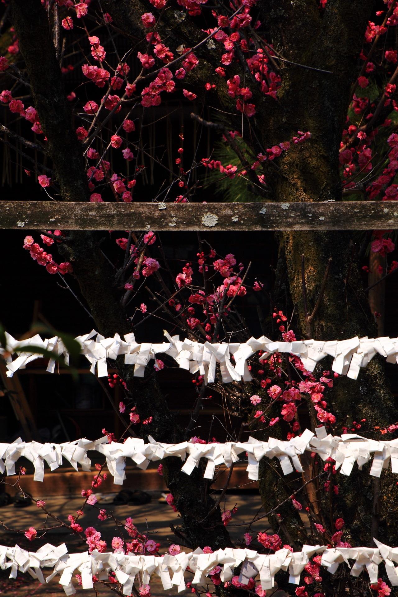 白いおみくじとピンクの梅の花