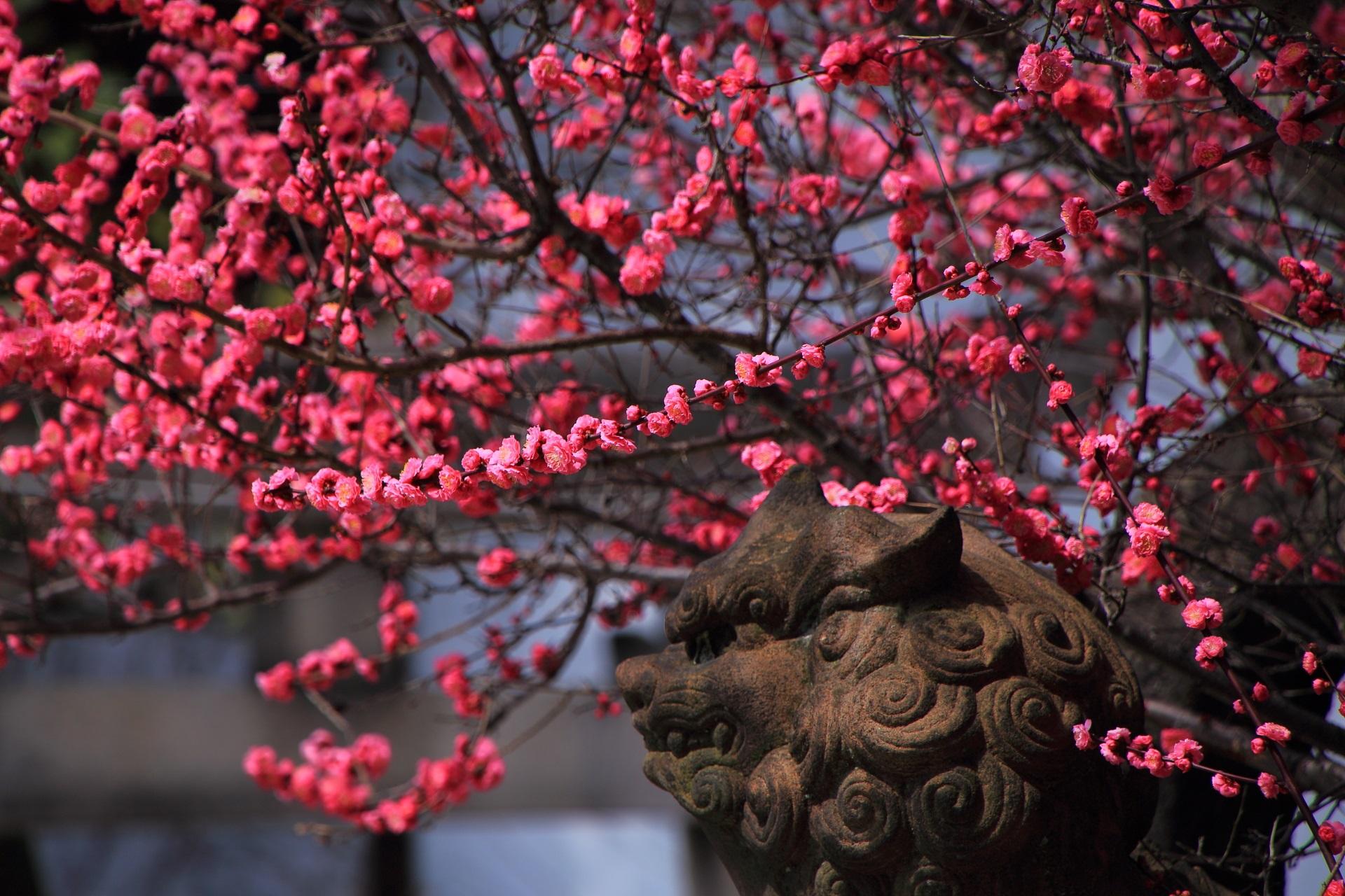 梅にかこまれ何かを想う狛犬