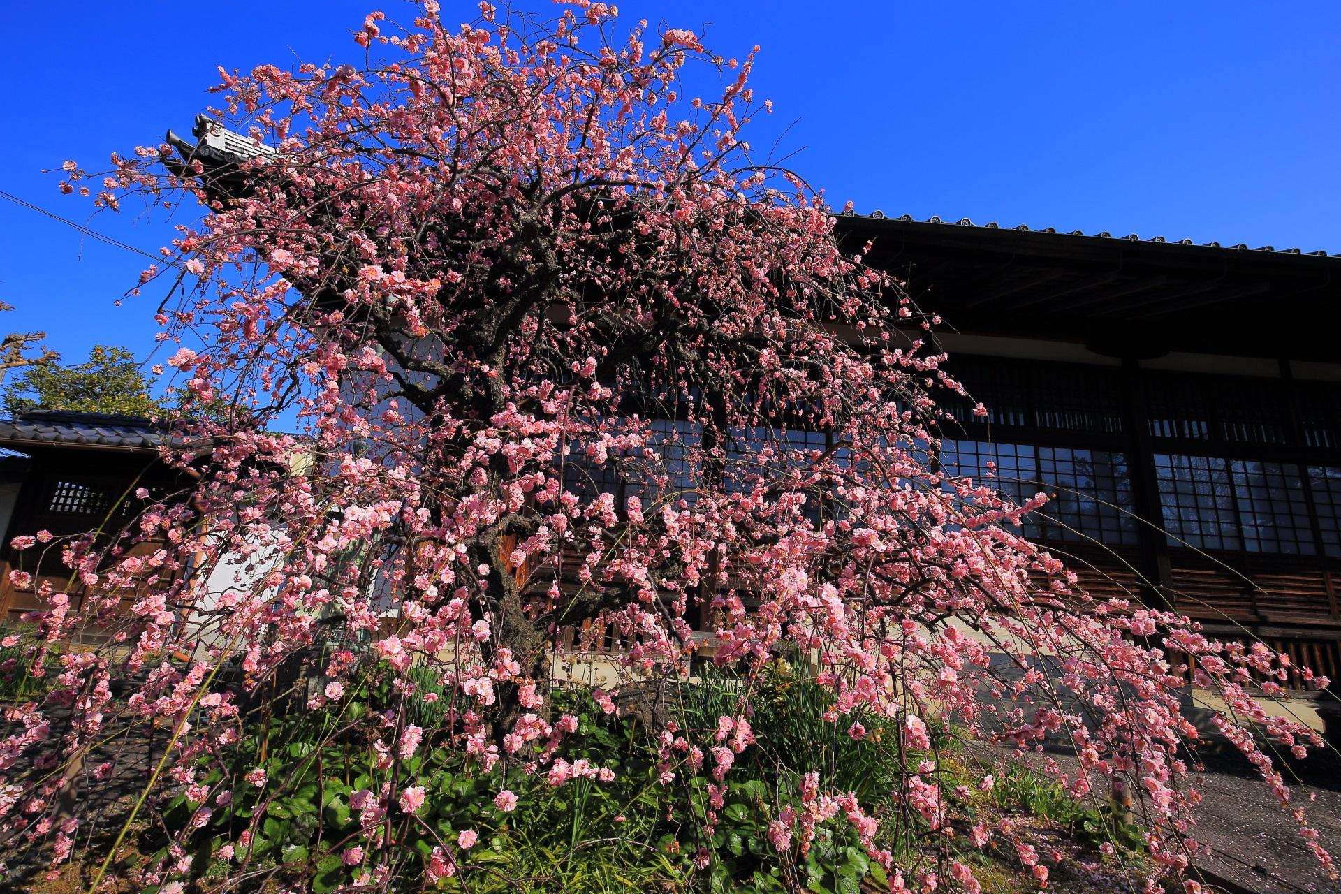 祐正寺の素晴らしい梅の花と春先の情景に感謝