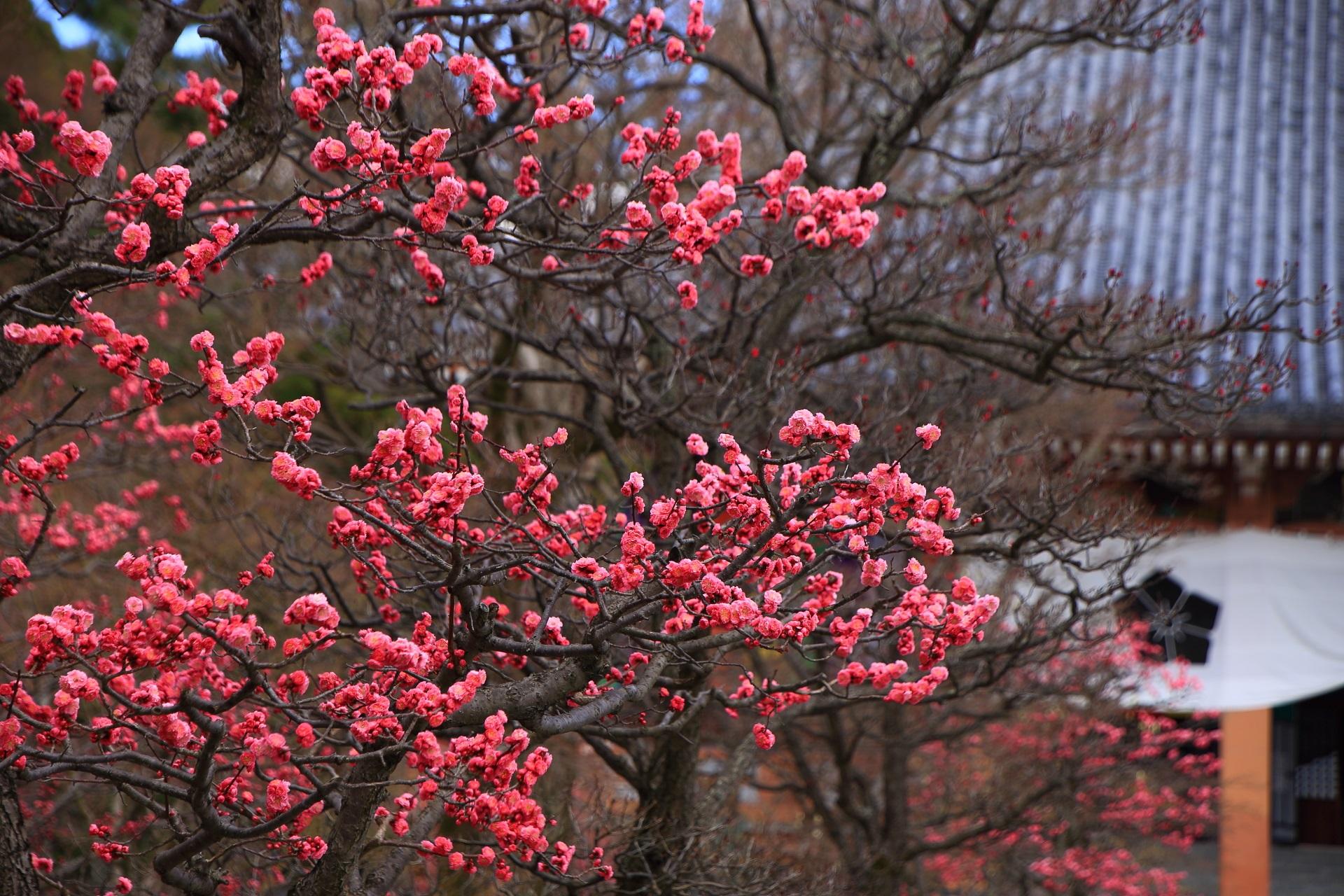 見事に咲き誇る梅の花