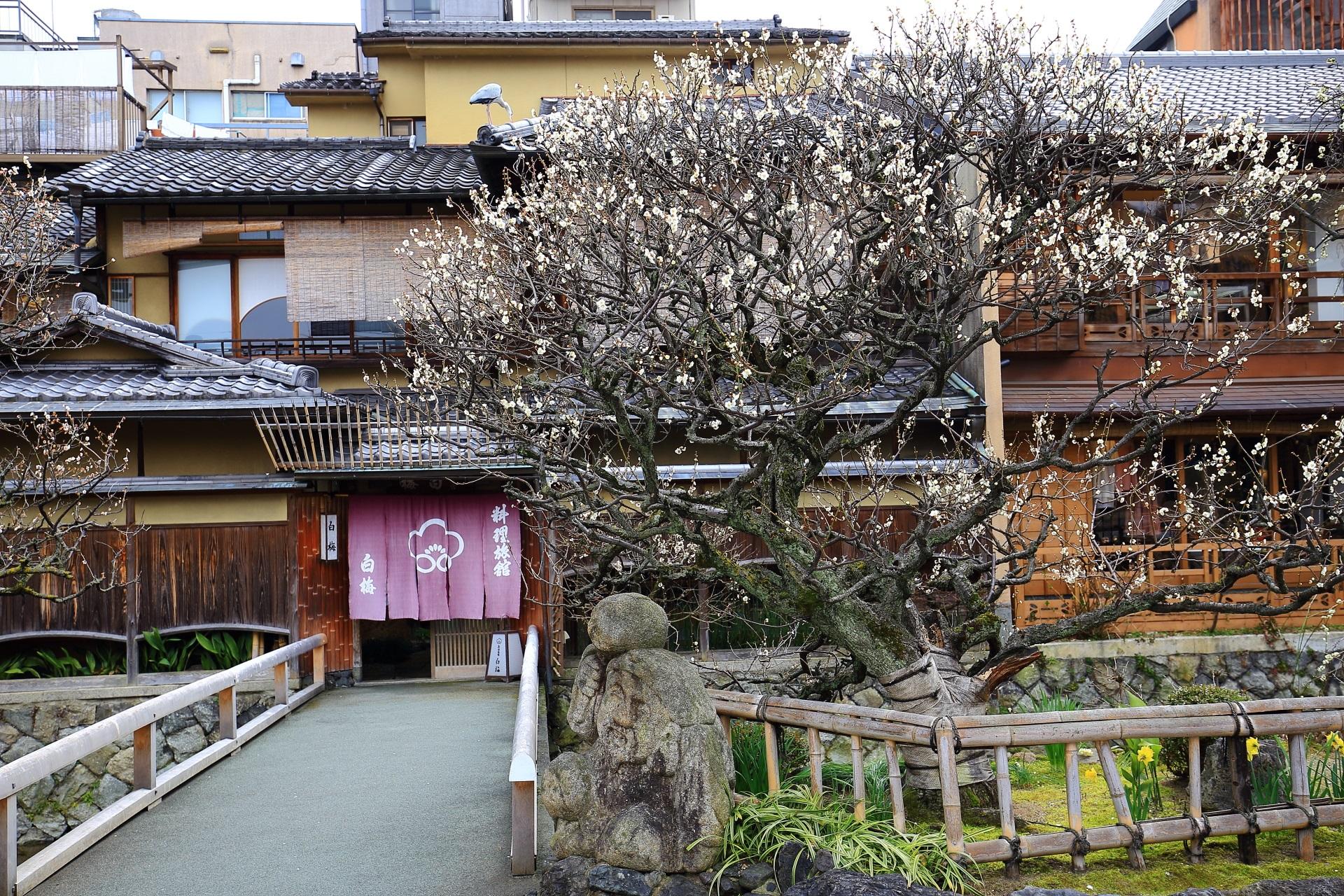 plumblossom Gionshirakawa in Kyoto,Japan