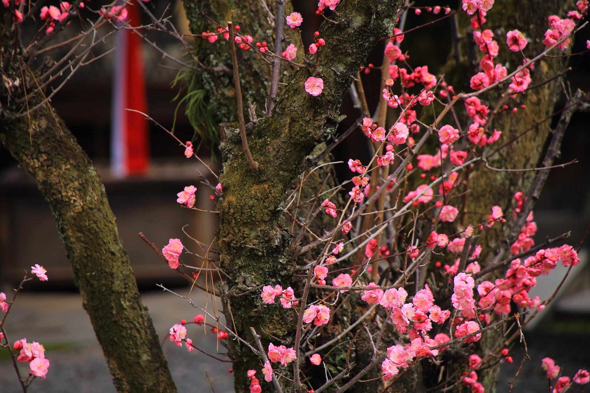 下御霊神社の風情ある梅の風景