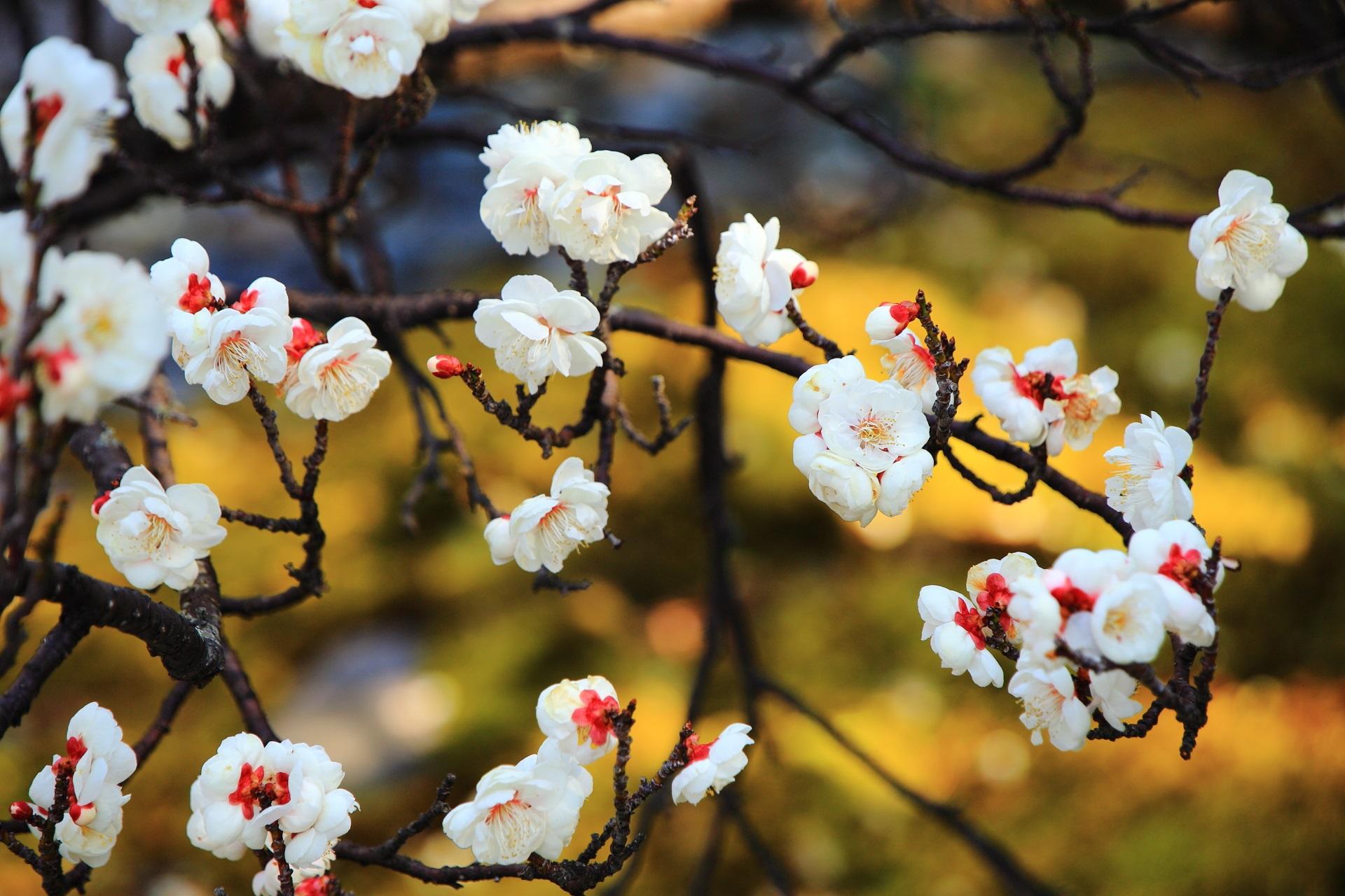 春先を彩る華やかな白梅