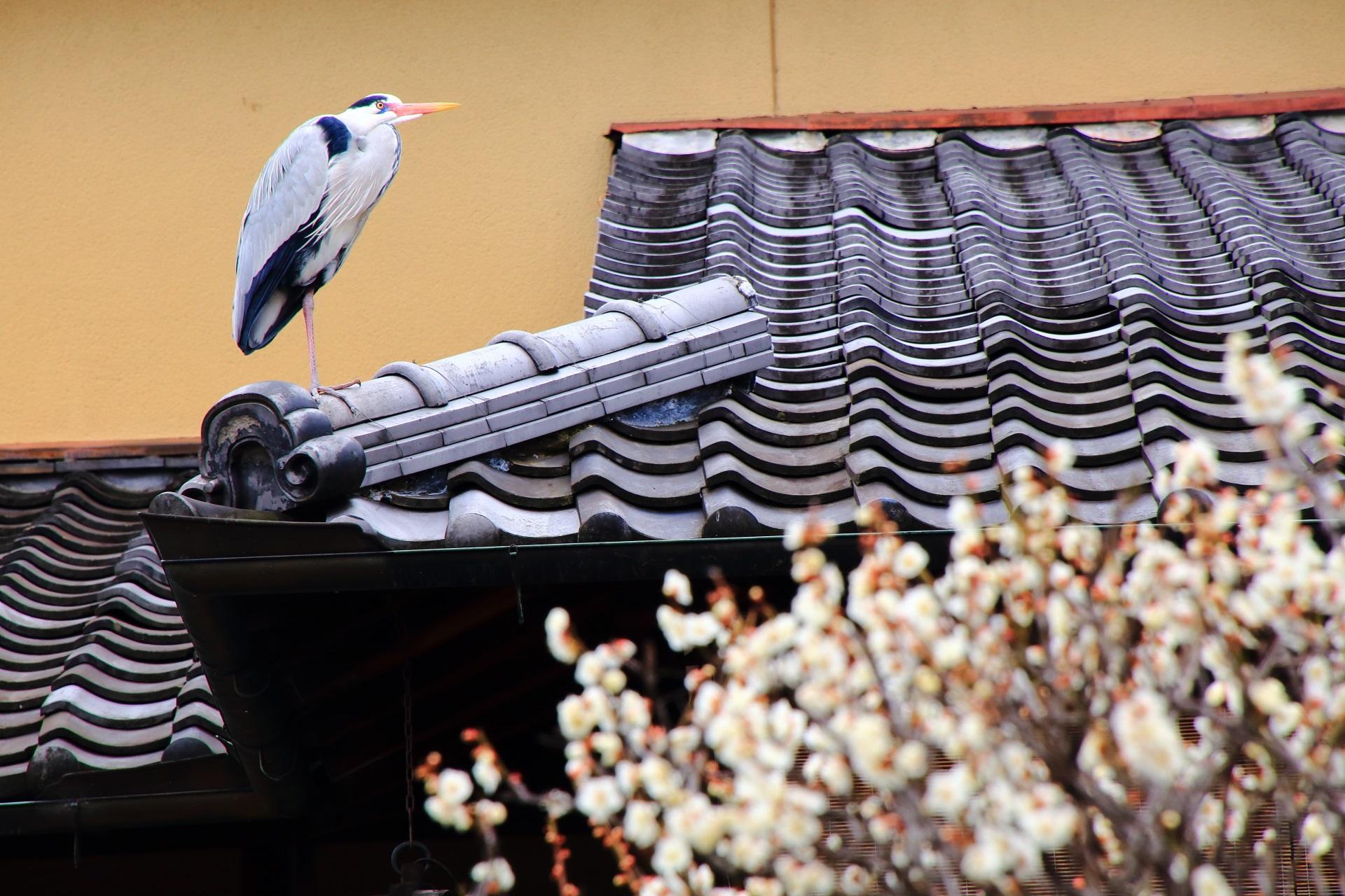 祇園白川の梅の花を眺める鷺