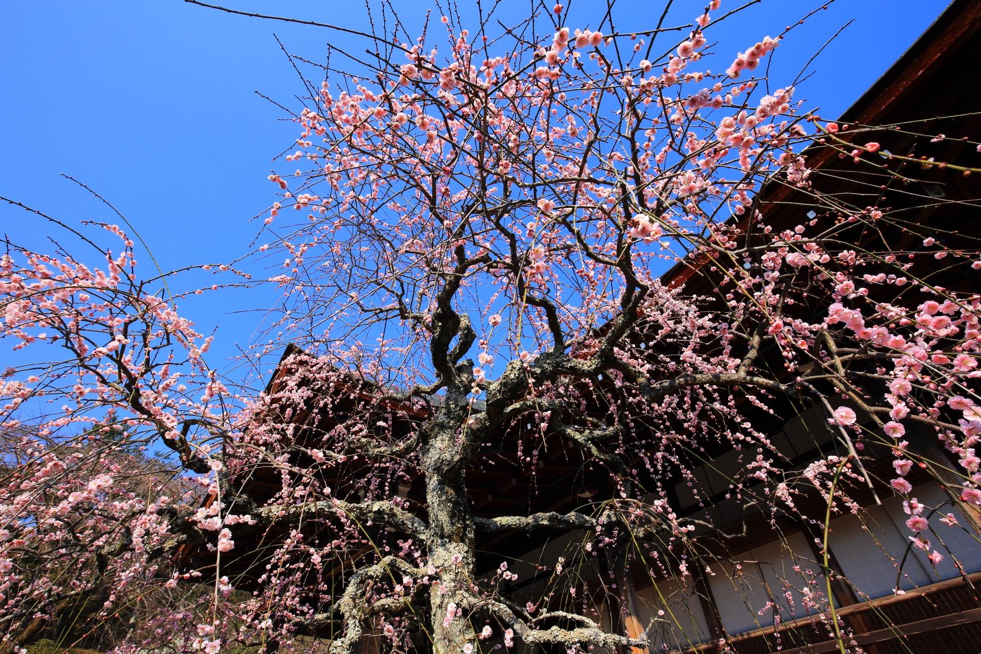 雲一つない見事な青空とピンクの梅の花