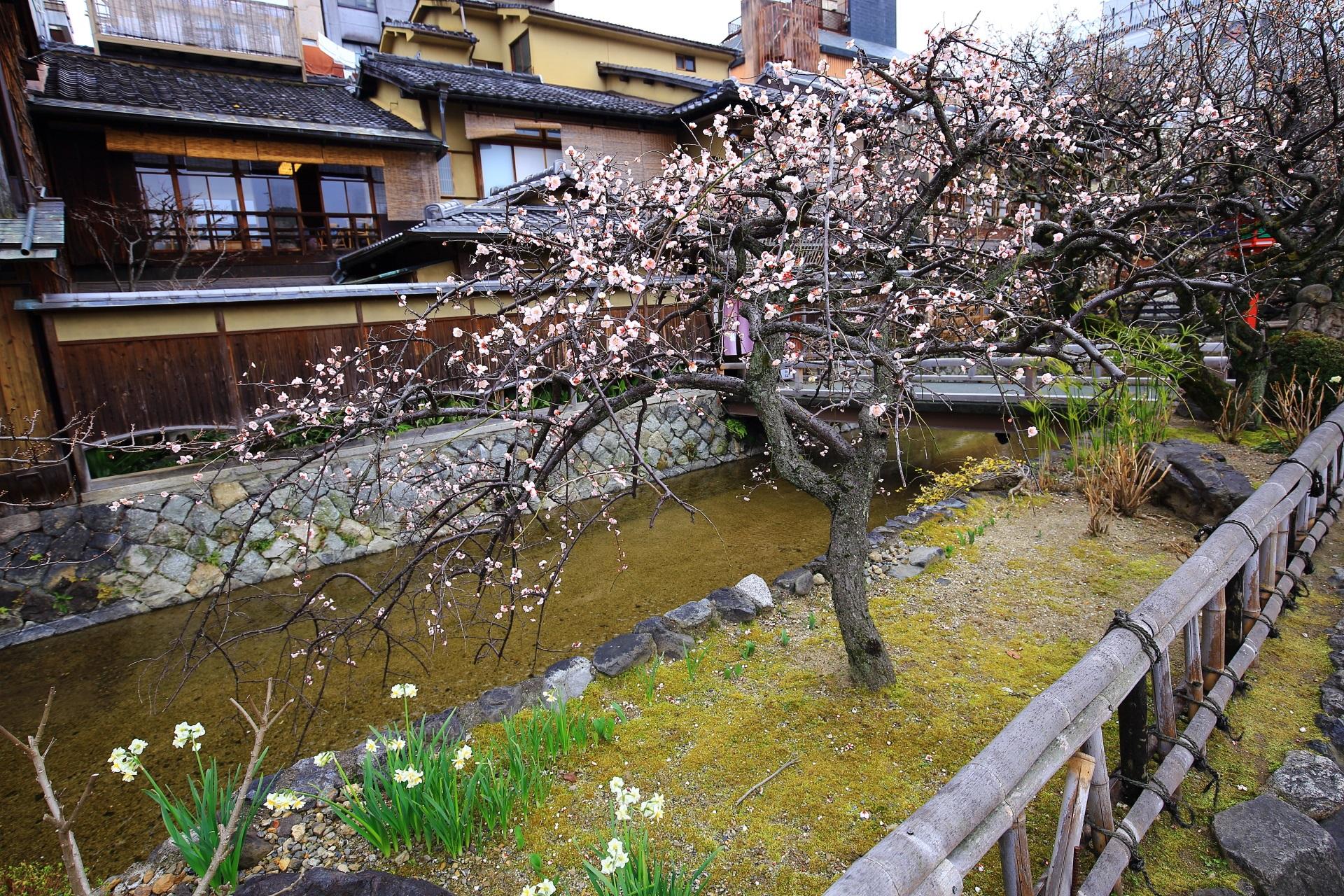 情緒溢れる雰囲気の祇園白川のピンクのしだれ梅