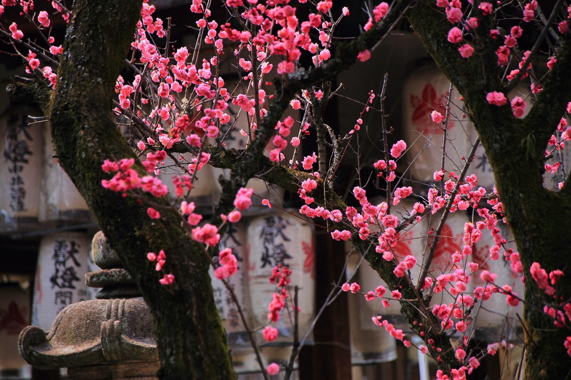 下御霊神社の拝殿を背景にした梅の花