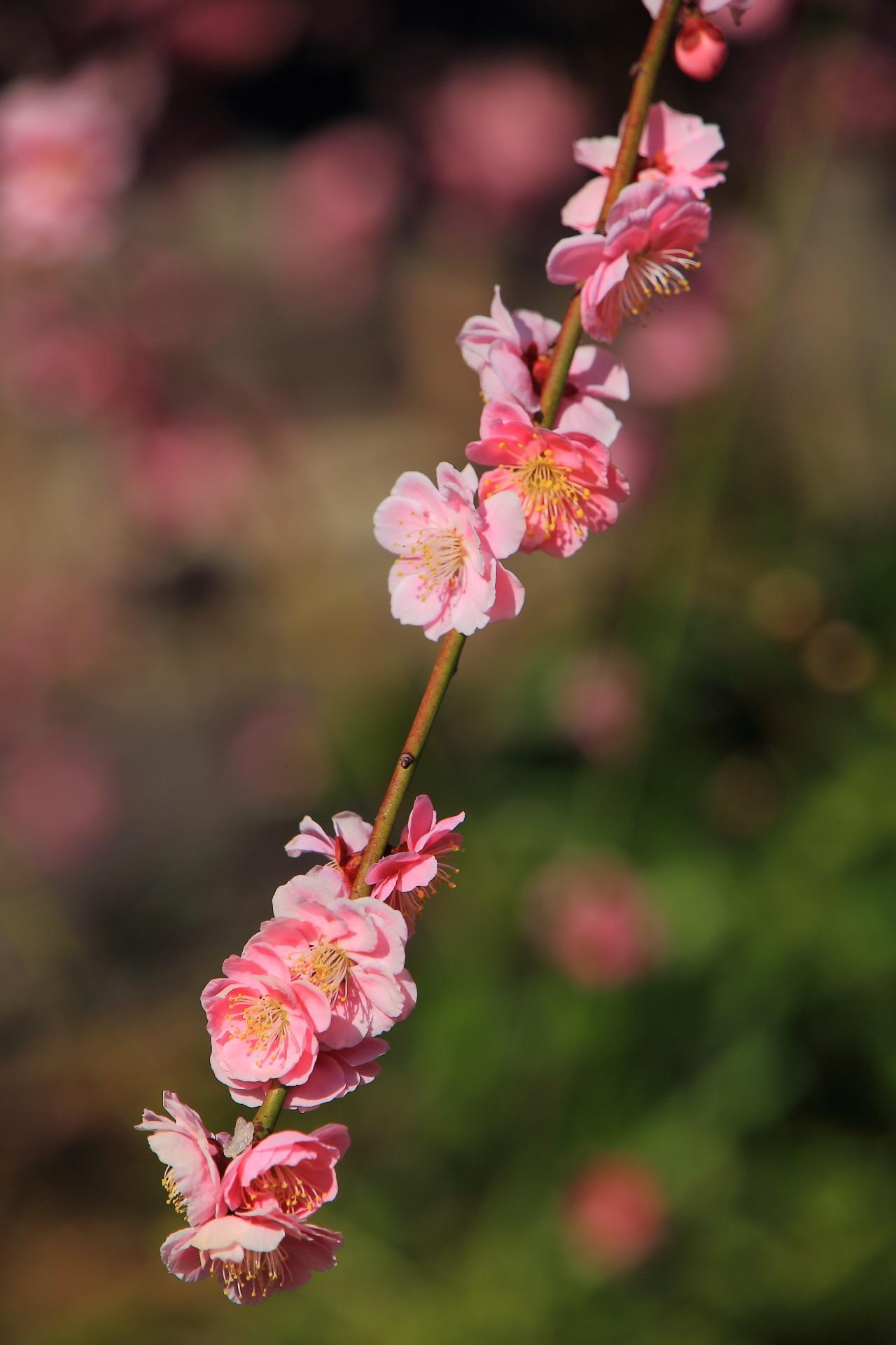 花ごとに色合いが微妙に異なる芸術的な梅の花