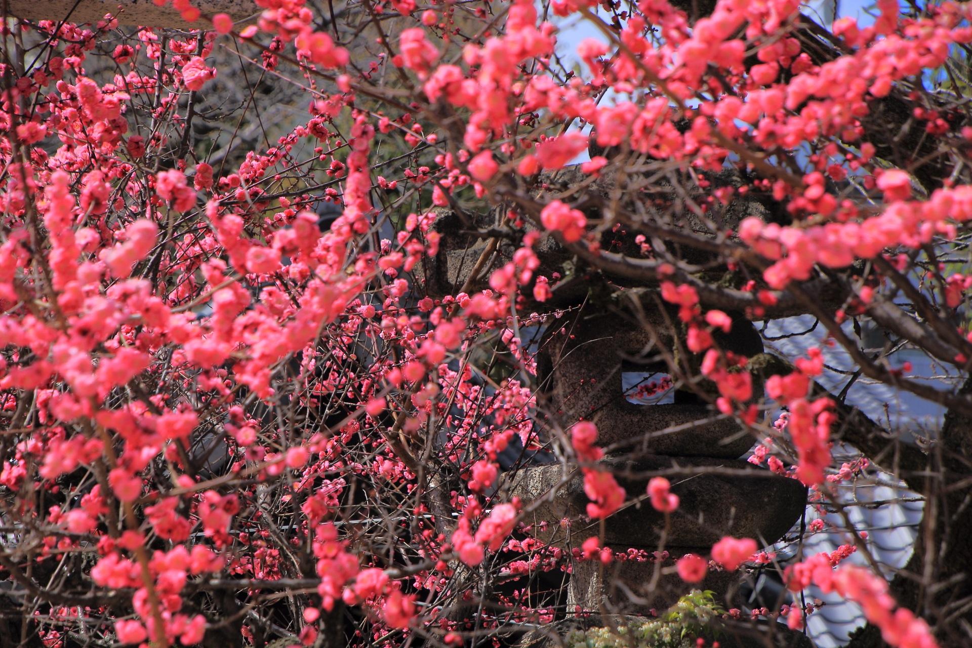菅大臣神社の灯籠と梅の花