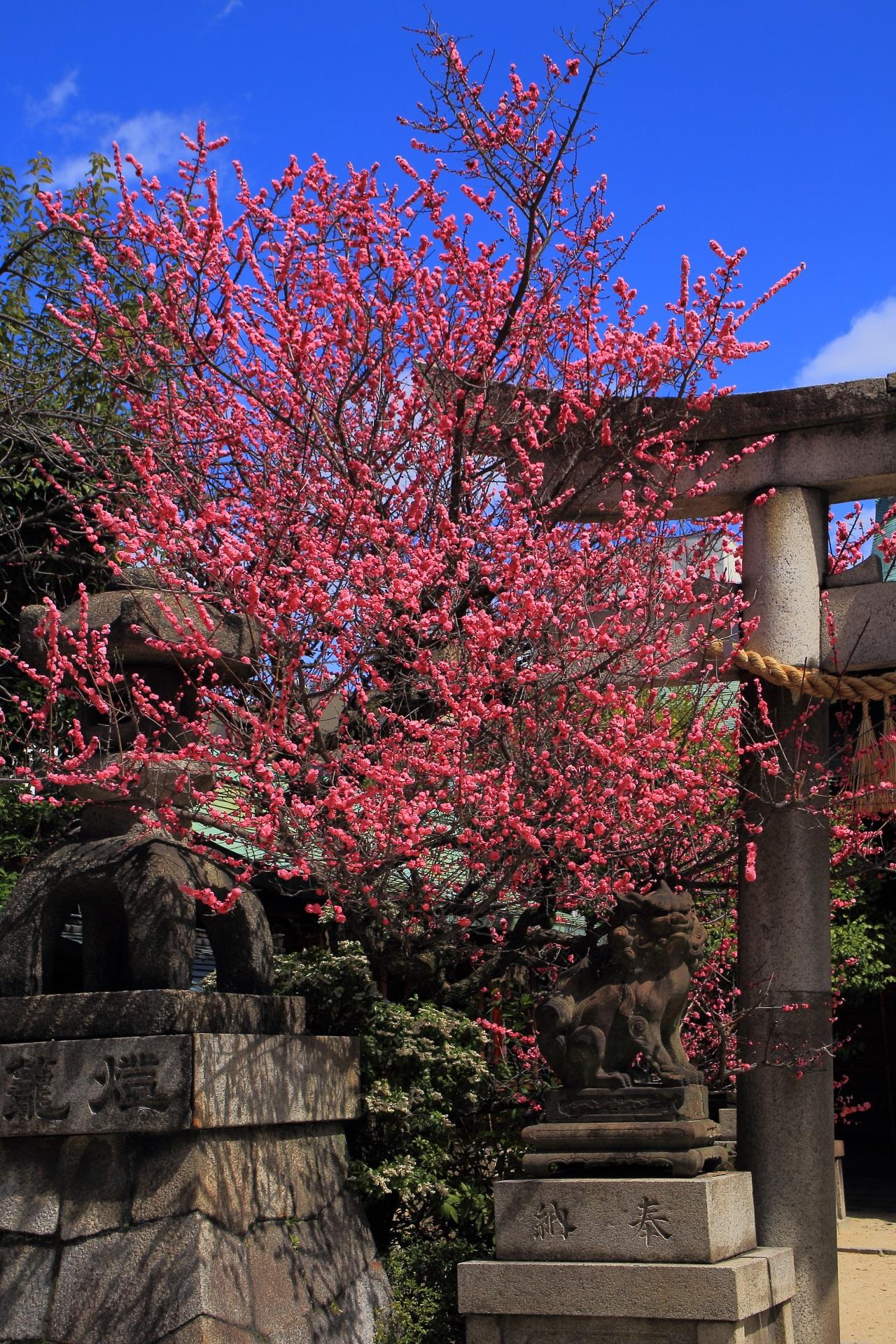 Kyoto Kandaijinjinja-shrine plumblossom