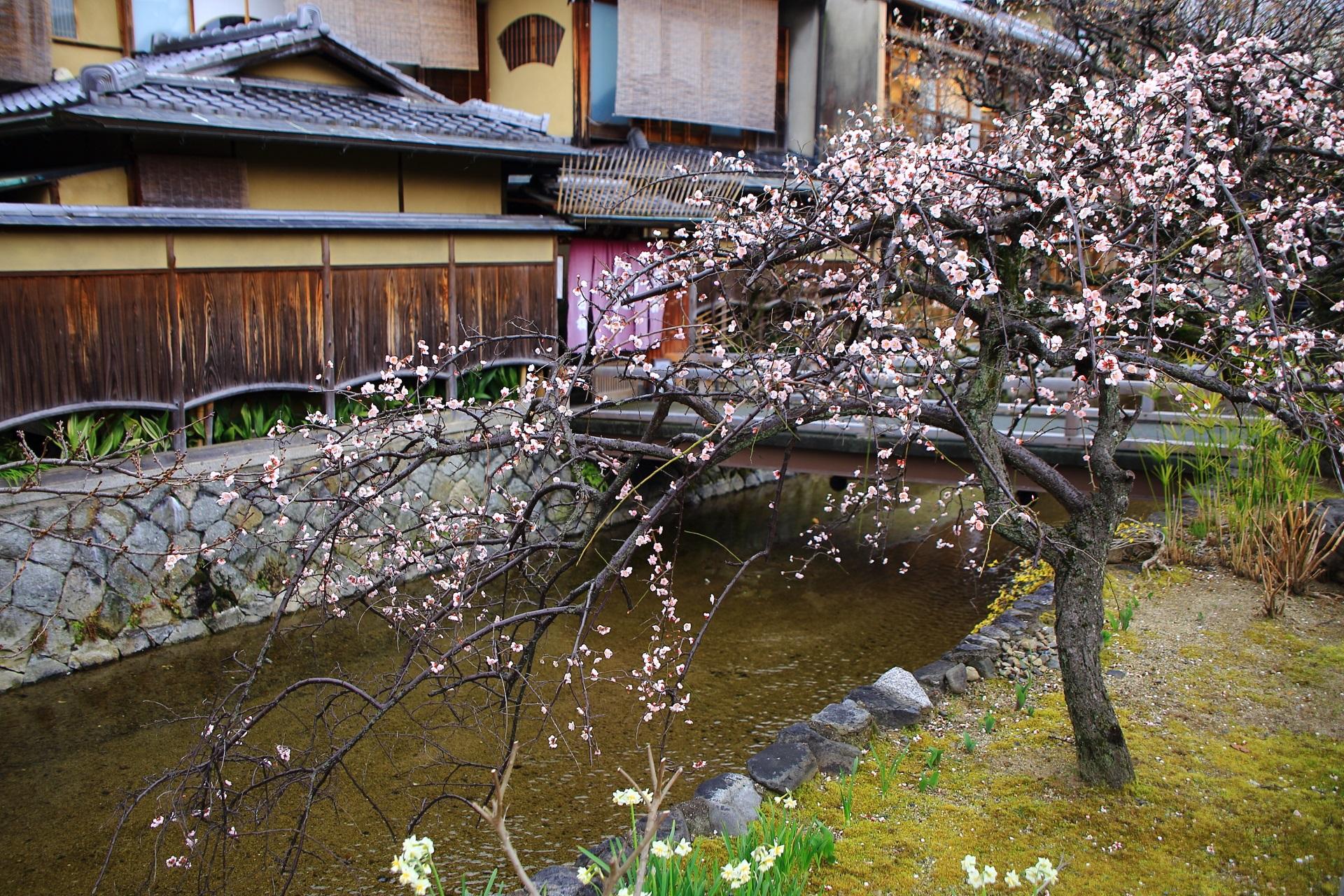 祇園白川の風情があって絵になるしだれ梅