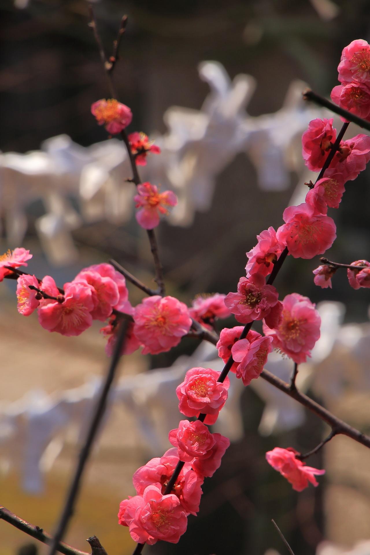 花びらが重なりゴロンとした立派な八重の梅の花