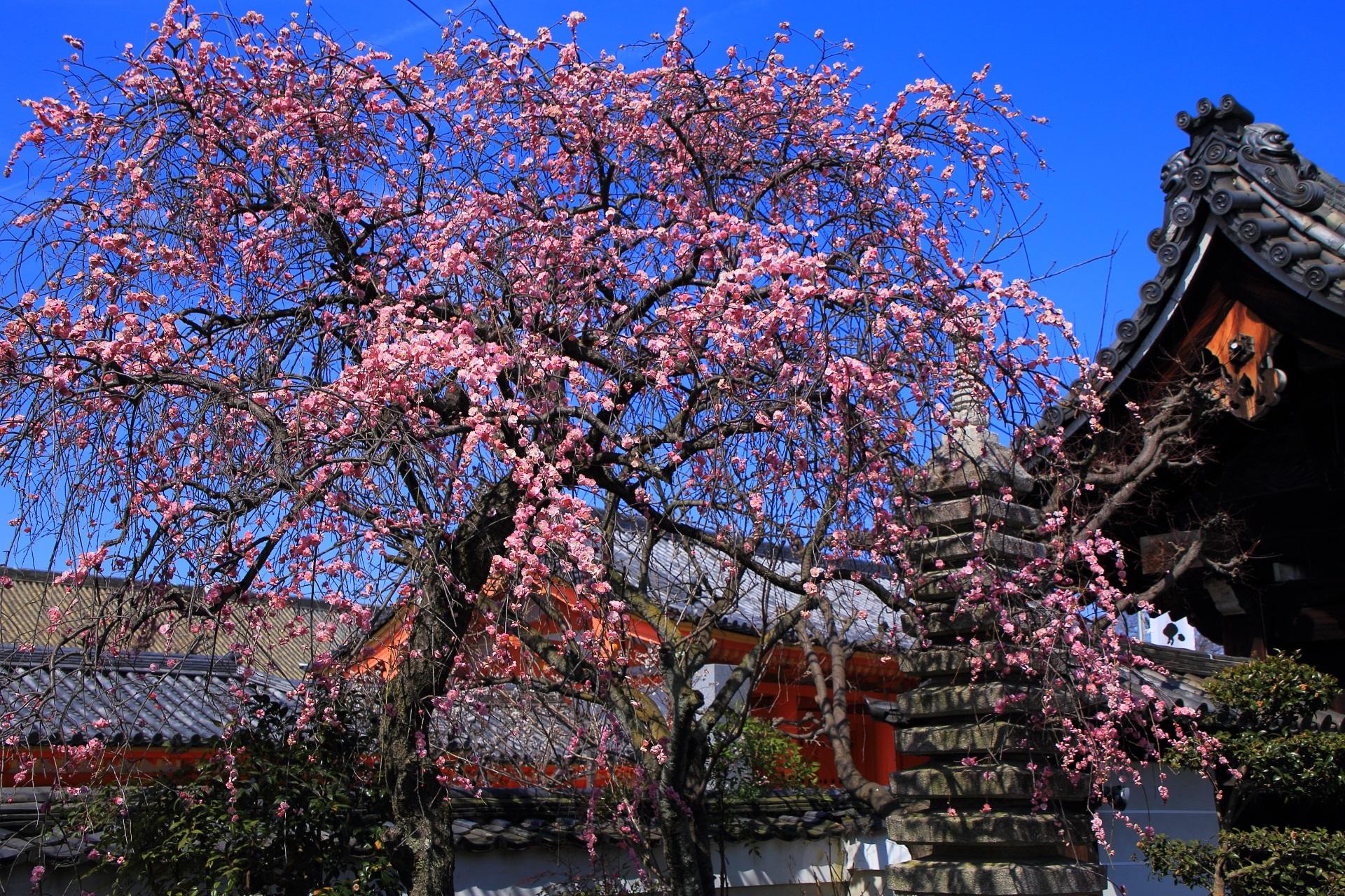 法住寺の青空に良く映えるピンクの梅と三十三間堂の門