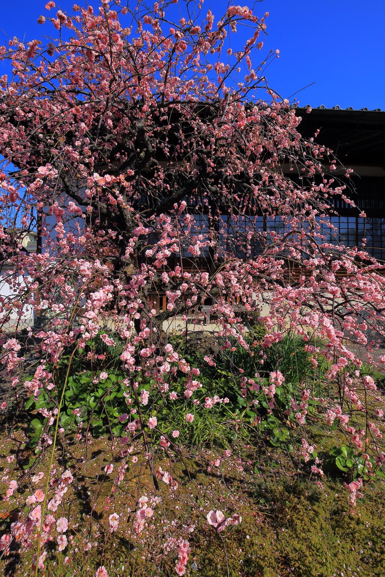 祐正寺のピンクのシャワーのような梅の花