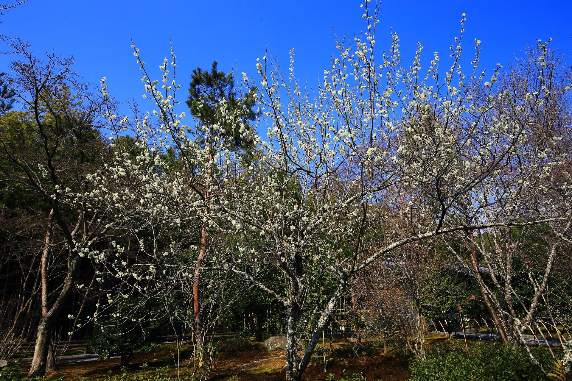 天龍寺の百花苑(ひゃっかえん)の梅